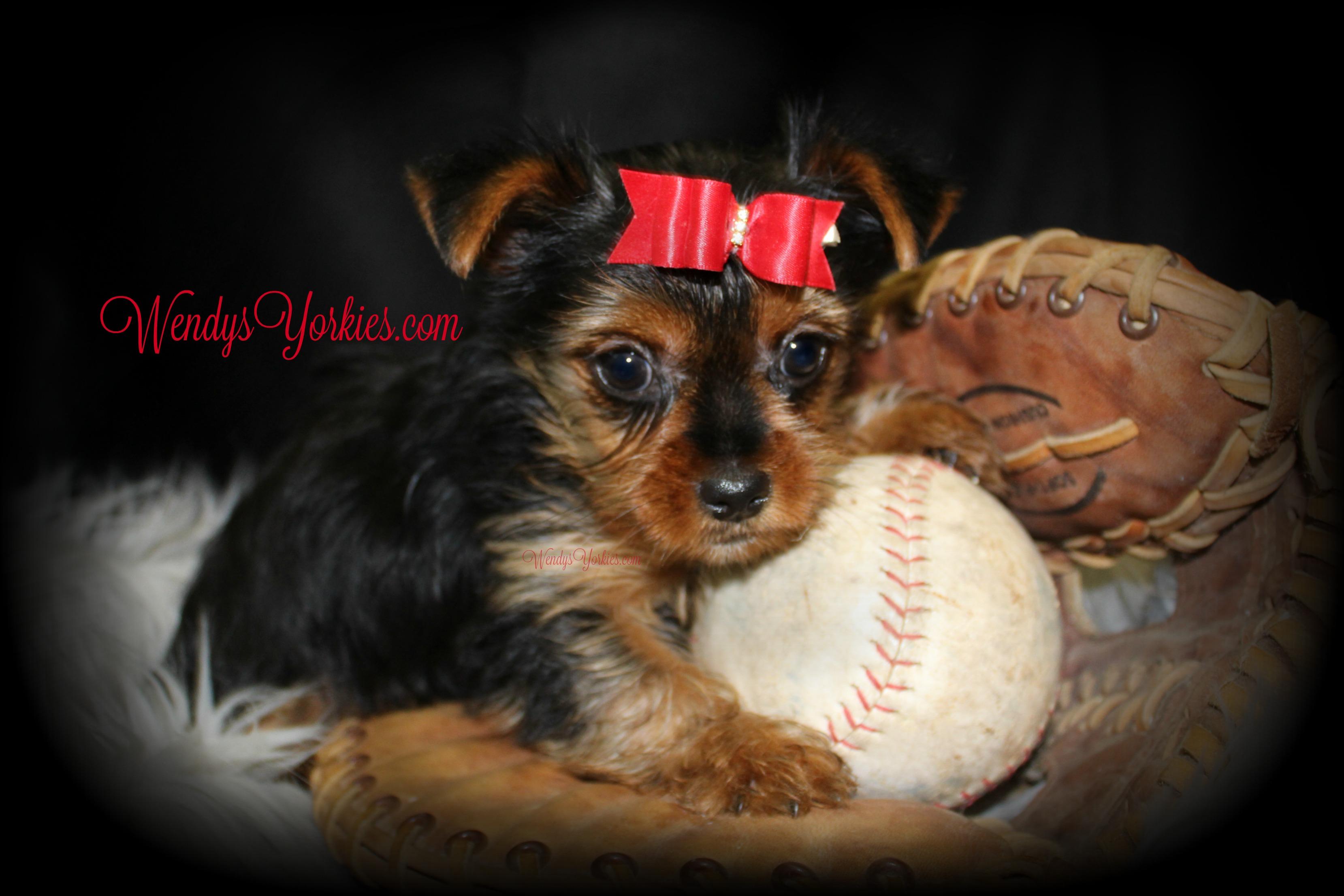Cute Yorkie puppy for sale, WendysYorkies.com, Skeeter m1