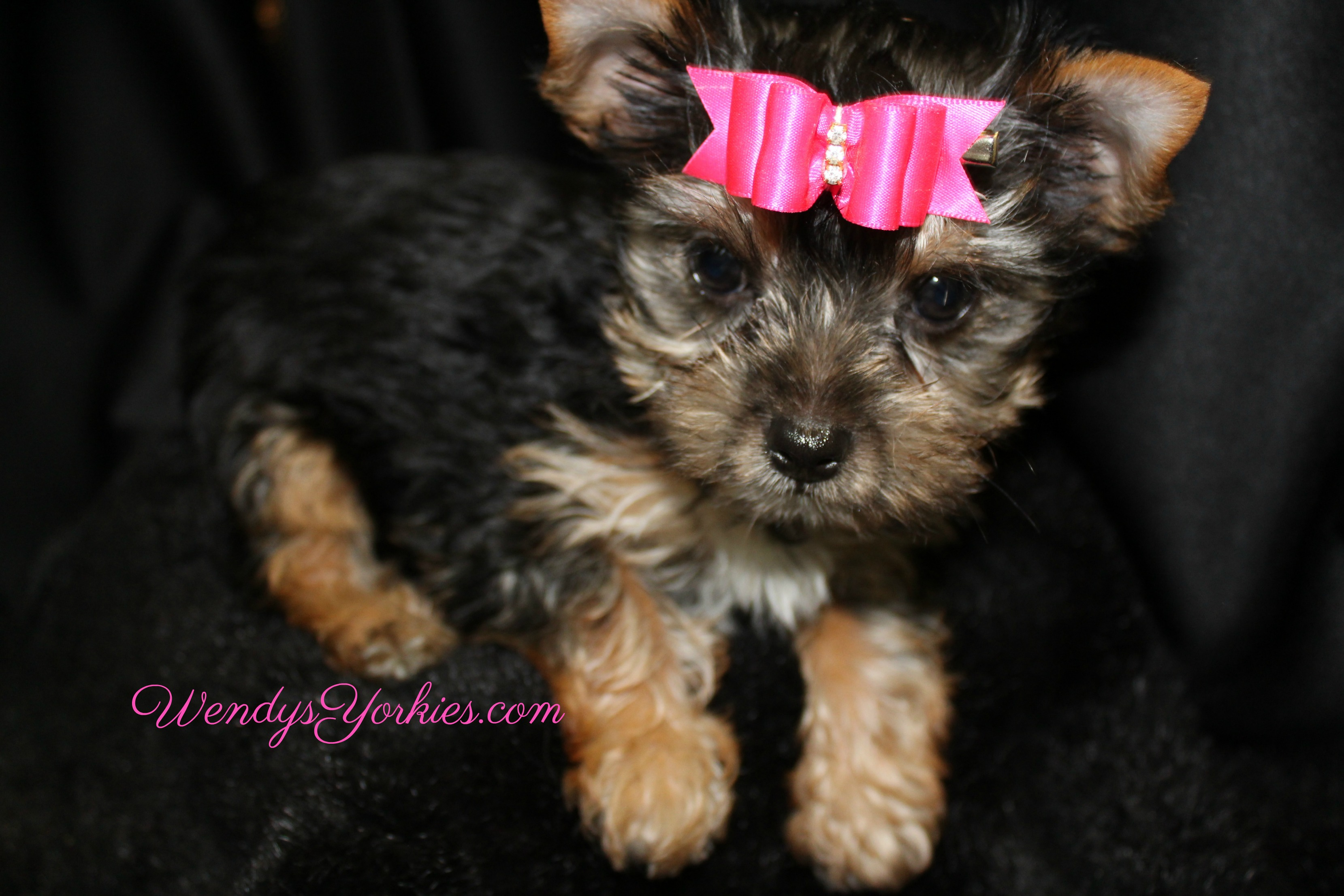 Female YOrkie puppy for sale in Texas, WendysYorkies.com, Loulou f3