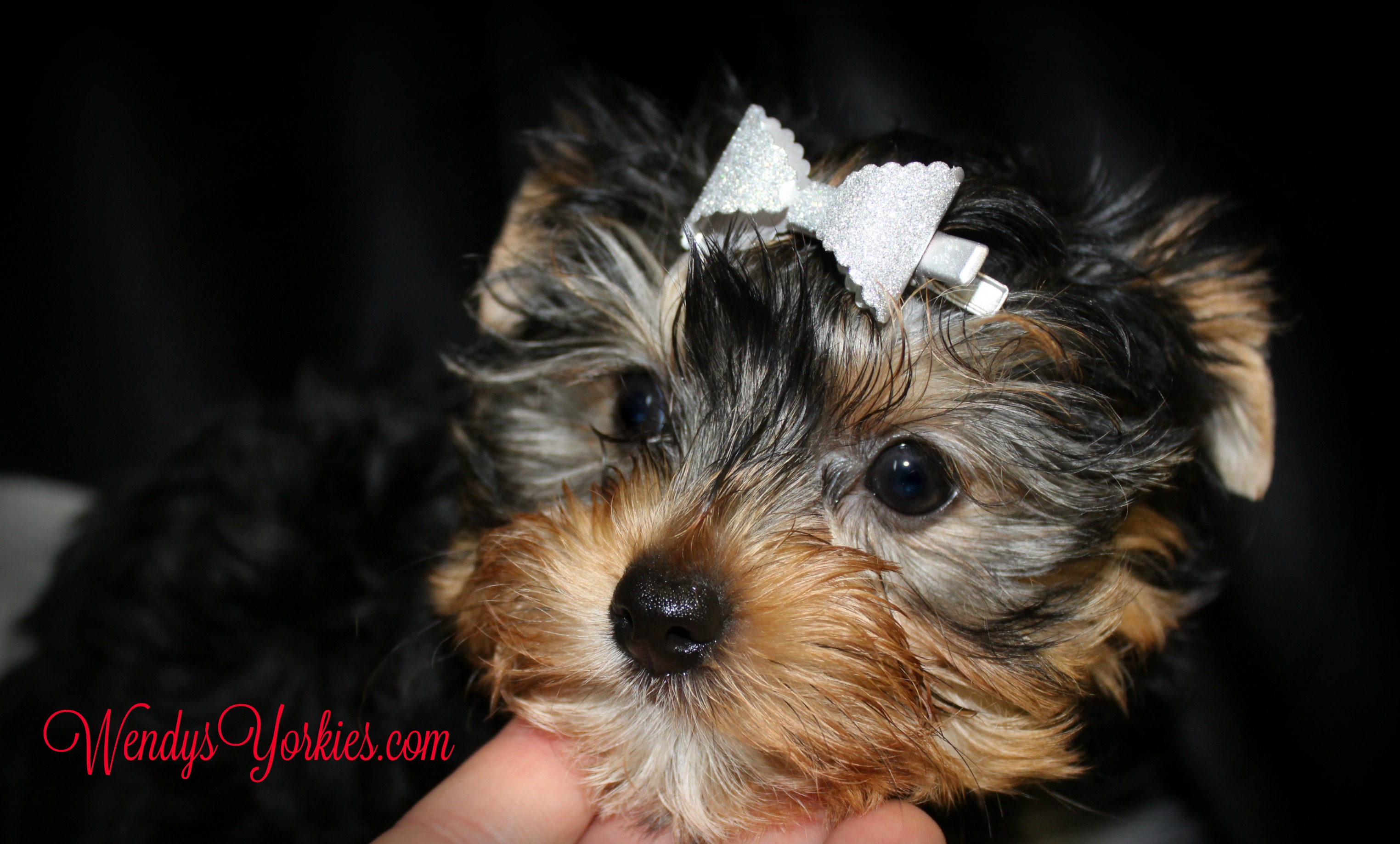 Male Yorkie puppy for sale, WendysYorkies.com, Lexie t m1