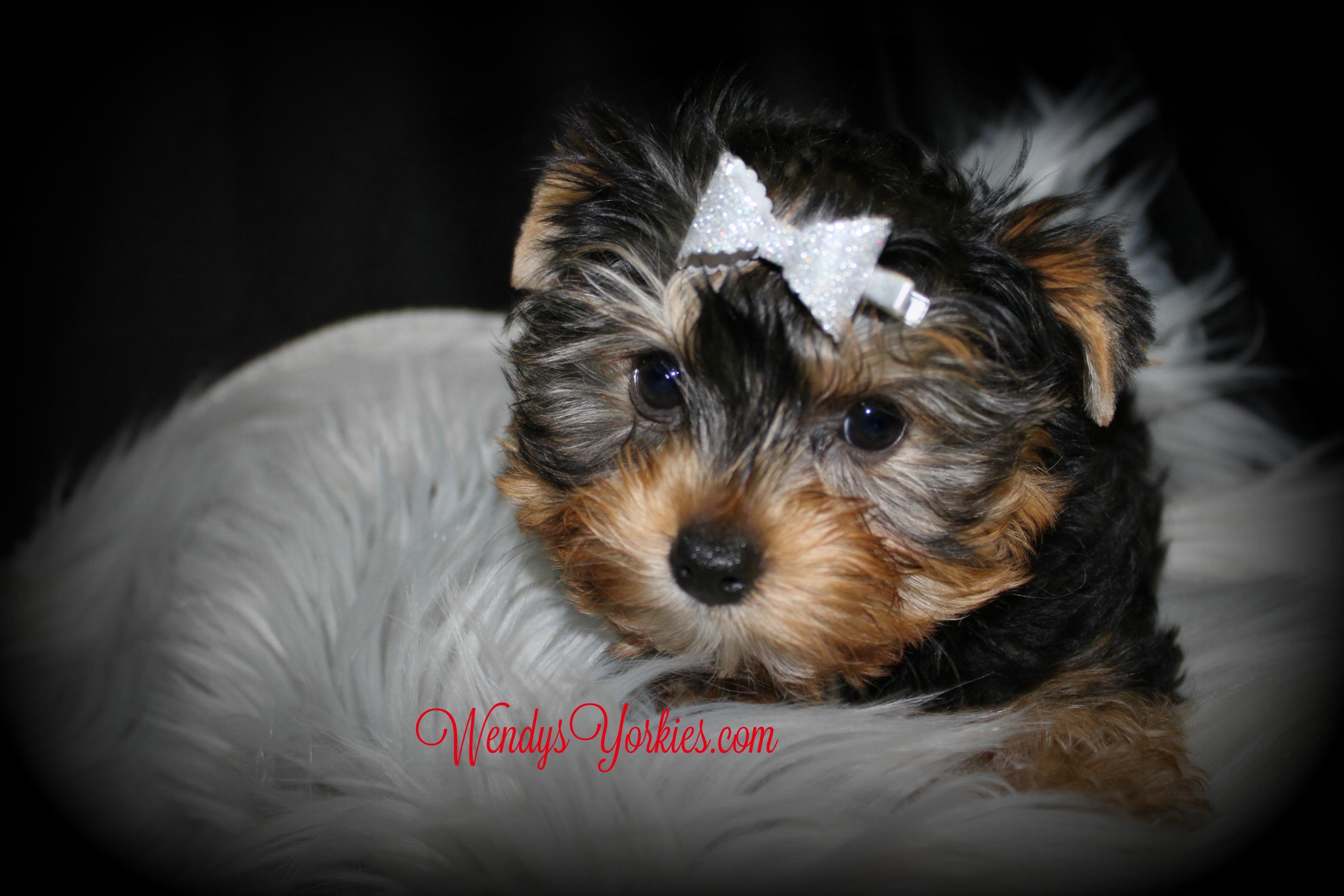 Pretty Yorkie puppy for sale, WendysYorkies.com, Lexie tm1