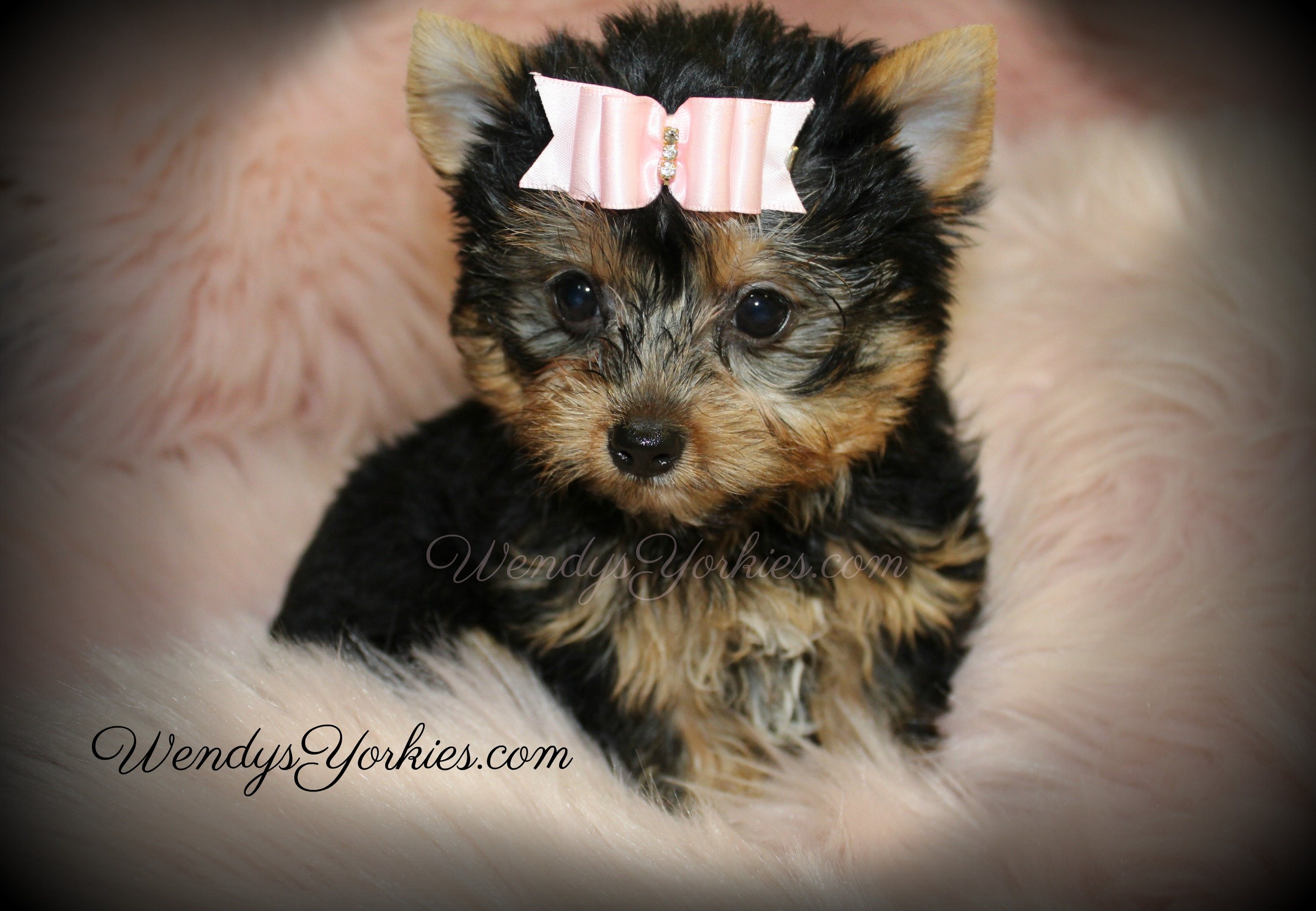 Teacup Female Yorkie puppy for sale, WendysYorkies.com, Lexie f