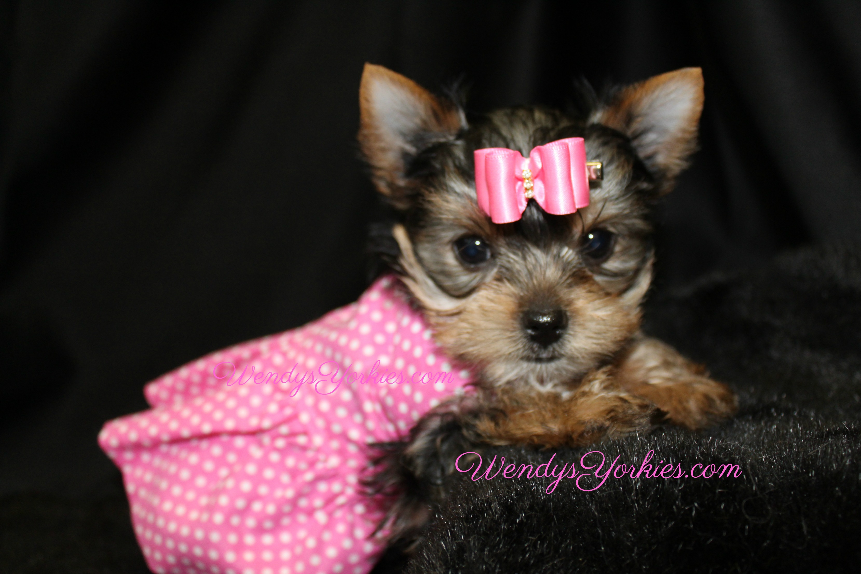 Teacup Yorkie puppy for sale, WendysYorkies.com, Loulou f2