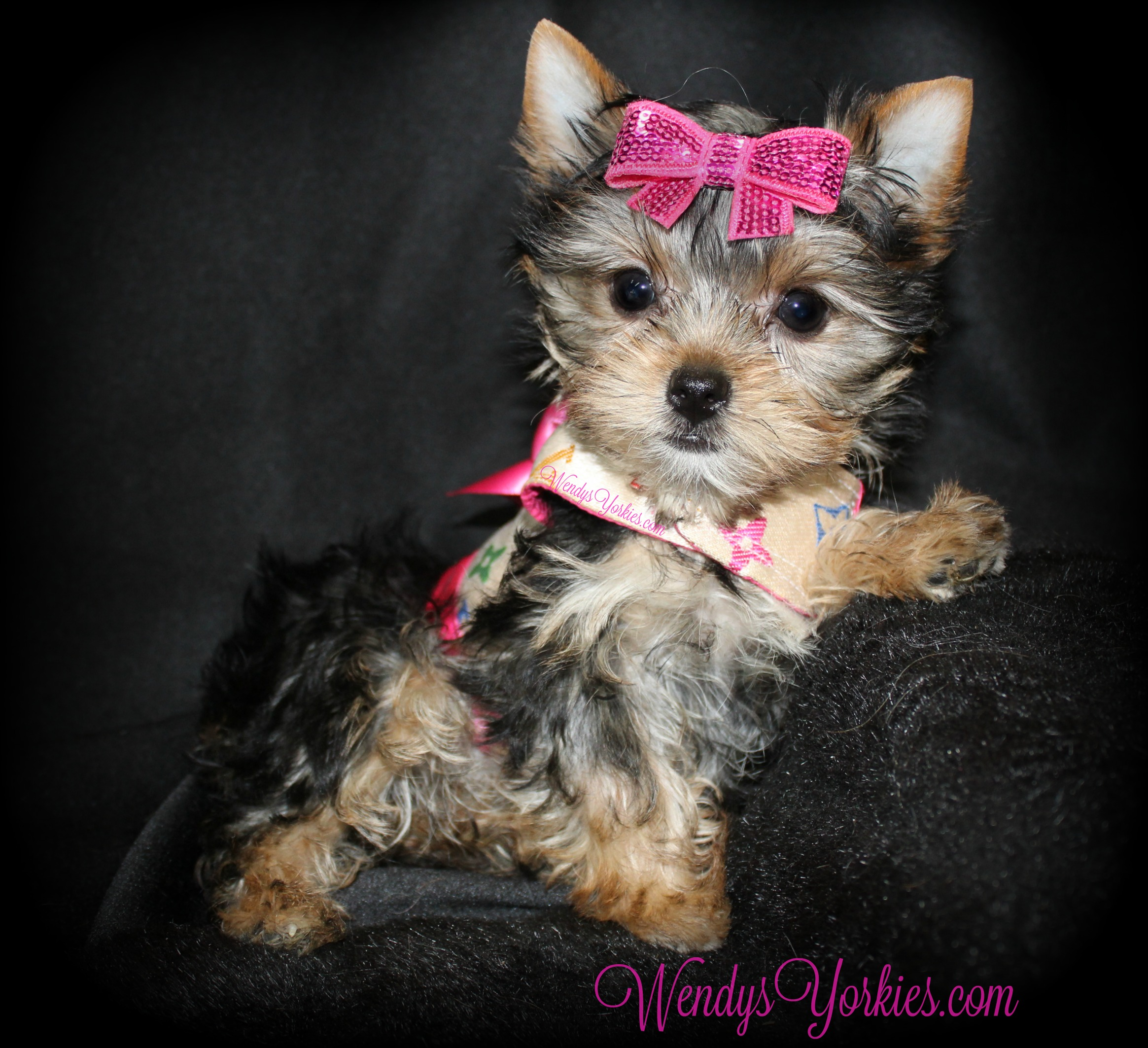 Tiny Teacup Female Yorkie puppy for sale, WendysYorkies.com, Loulou f1