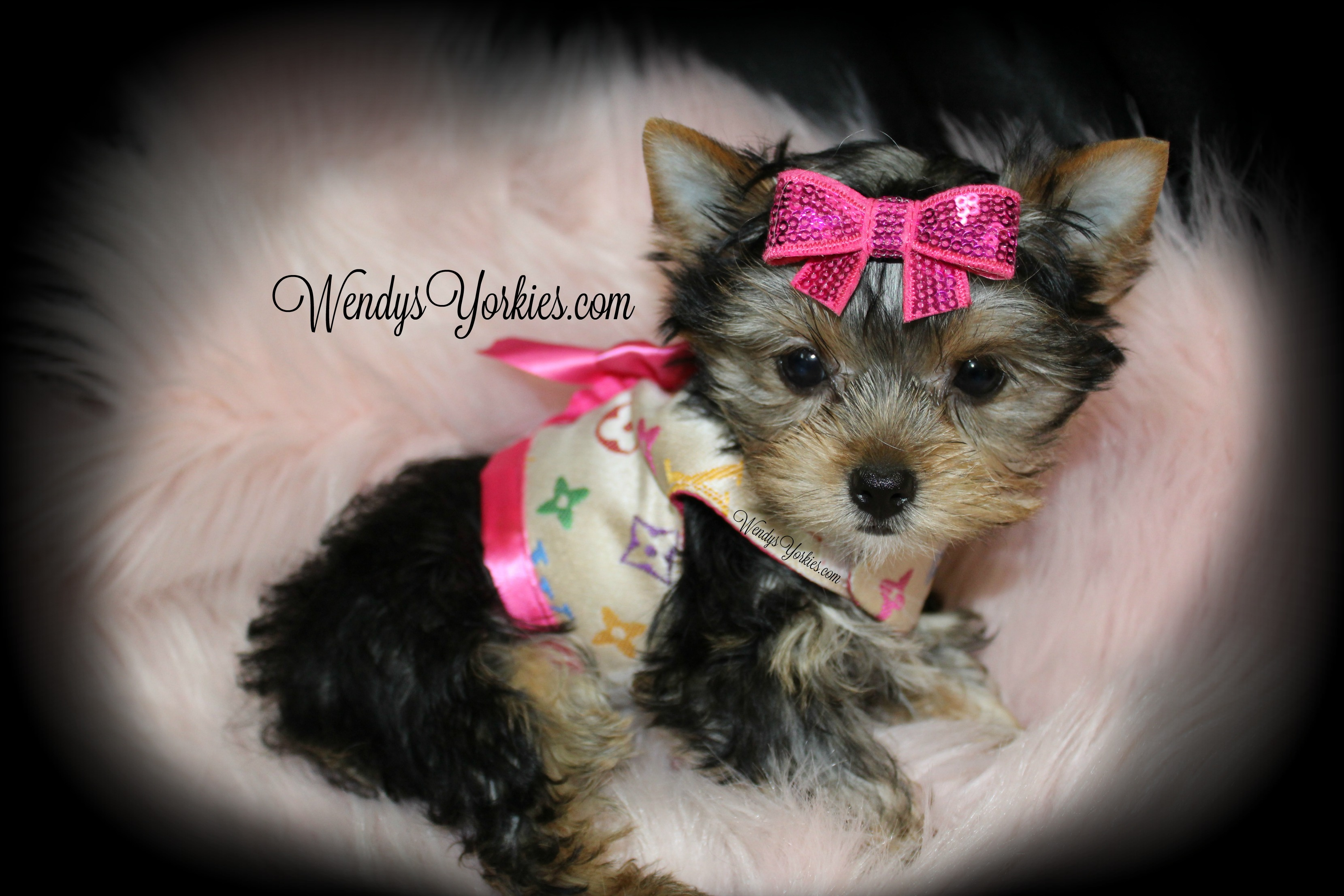 Tiny Yorkie puppy for sale, WendysYorkies.com, LouLou f1
