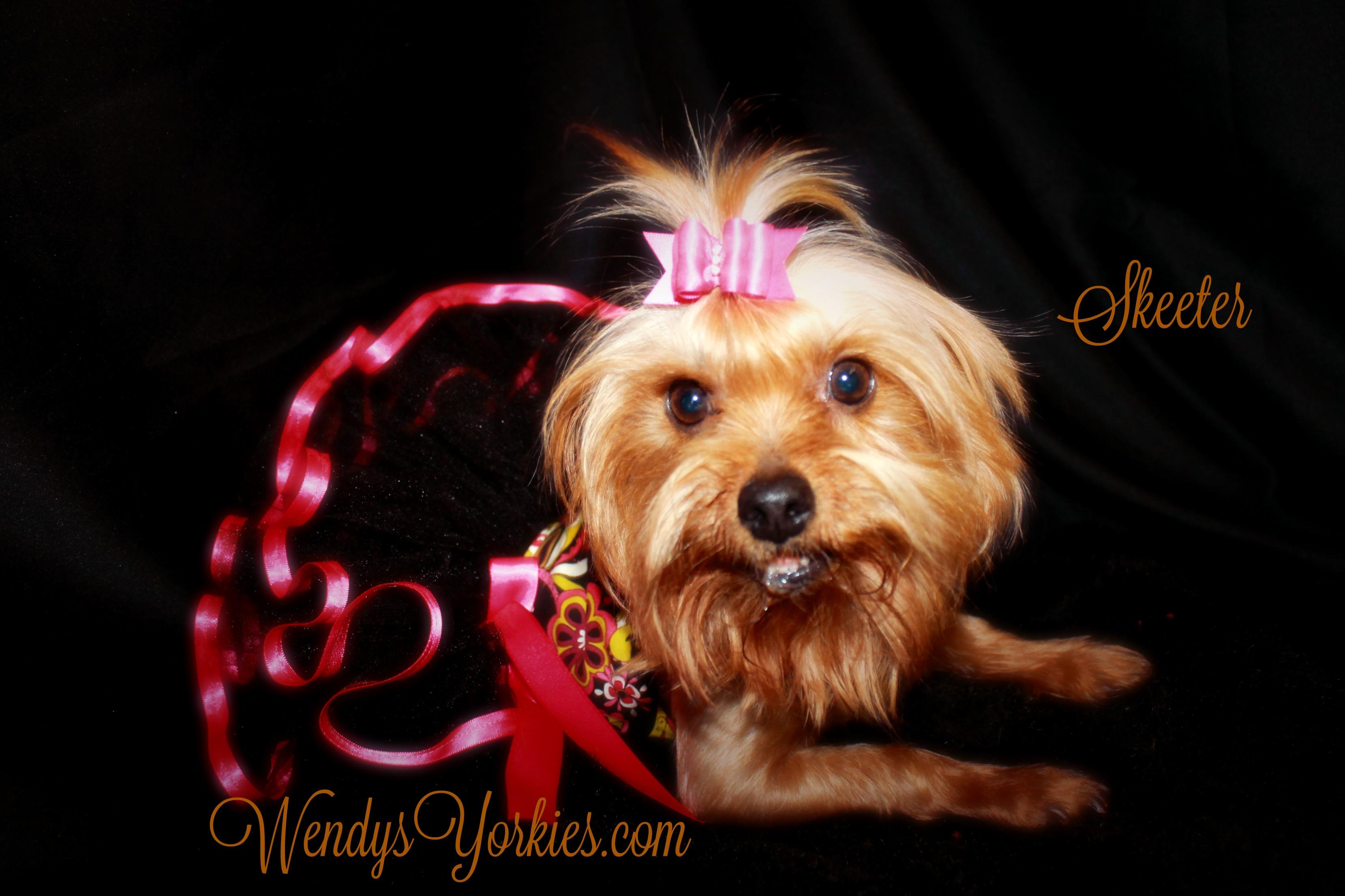 WendysYorkies.com, Female Yorkie Skeeter,