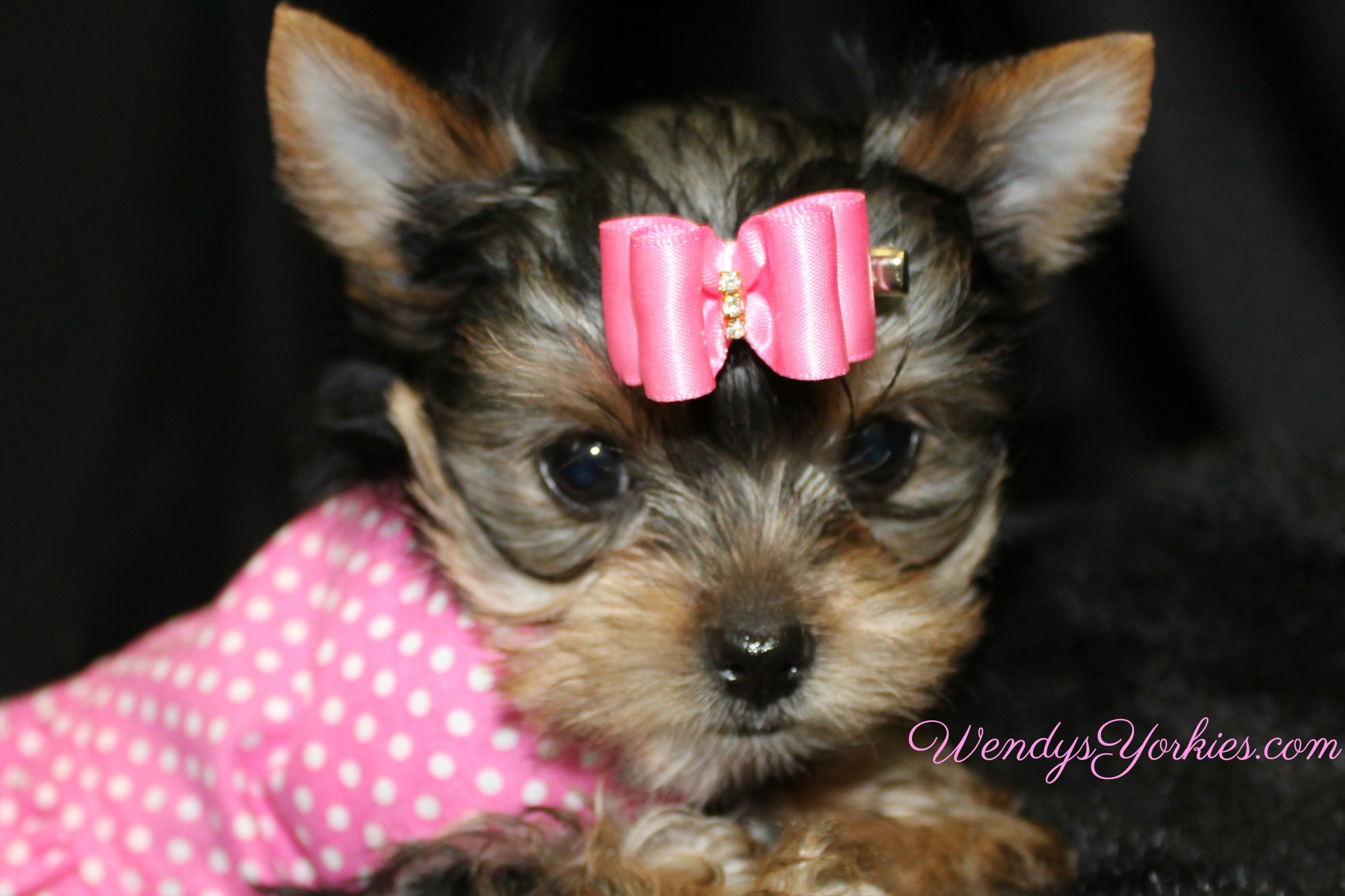 Yorkie puppies for sale, Loulou f2