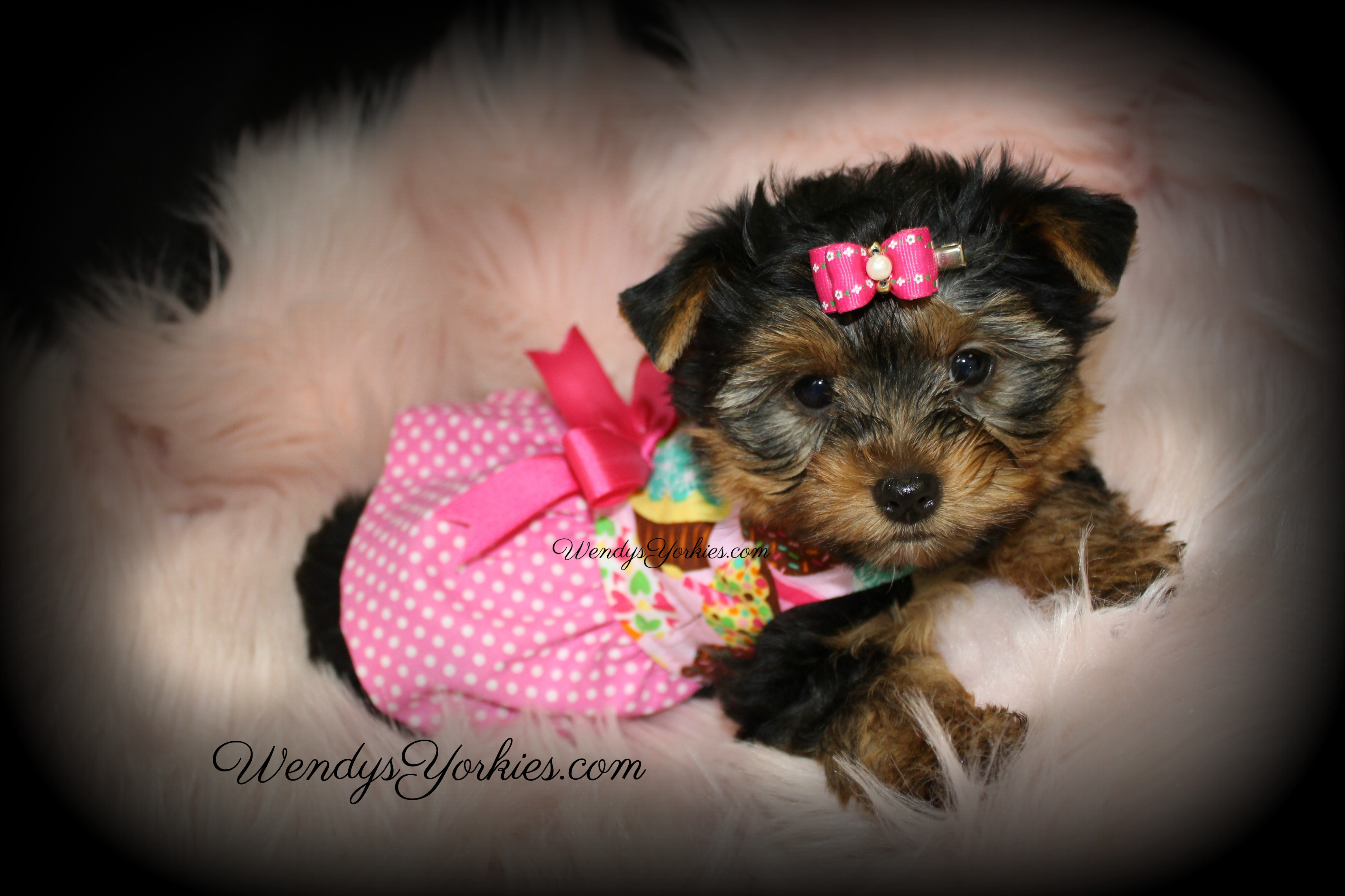 Yorkie puppies for sale, WendysYorkies.com, Loulou f1
