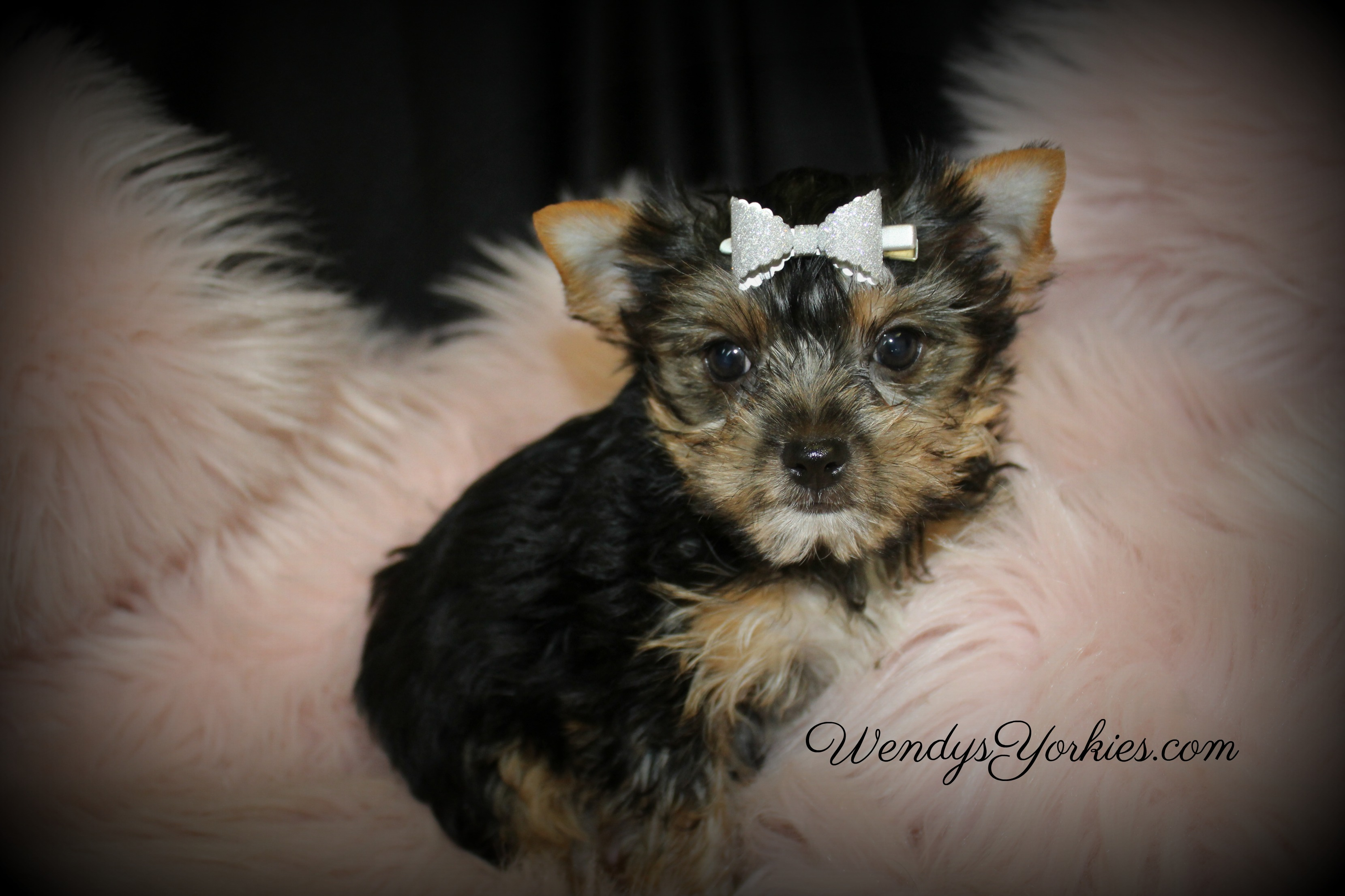 Yorkie puppy for sale in Texas, WendysYorkies.com, Loulou f3