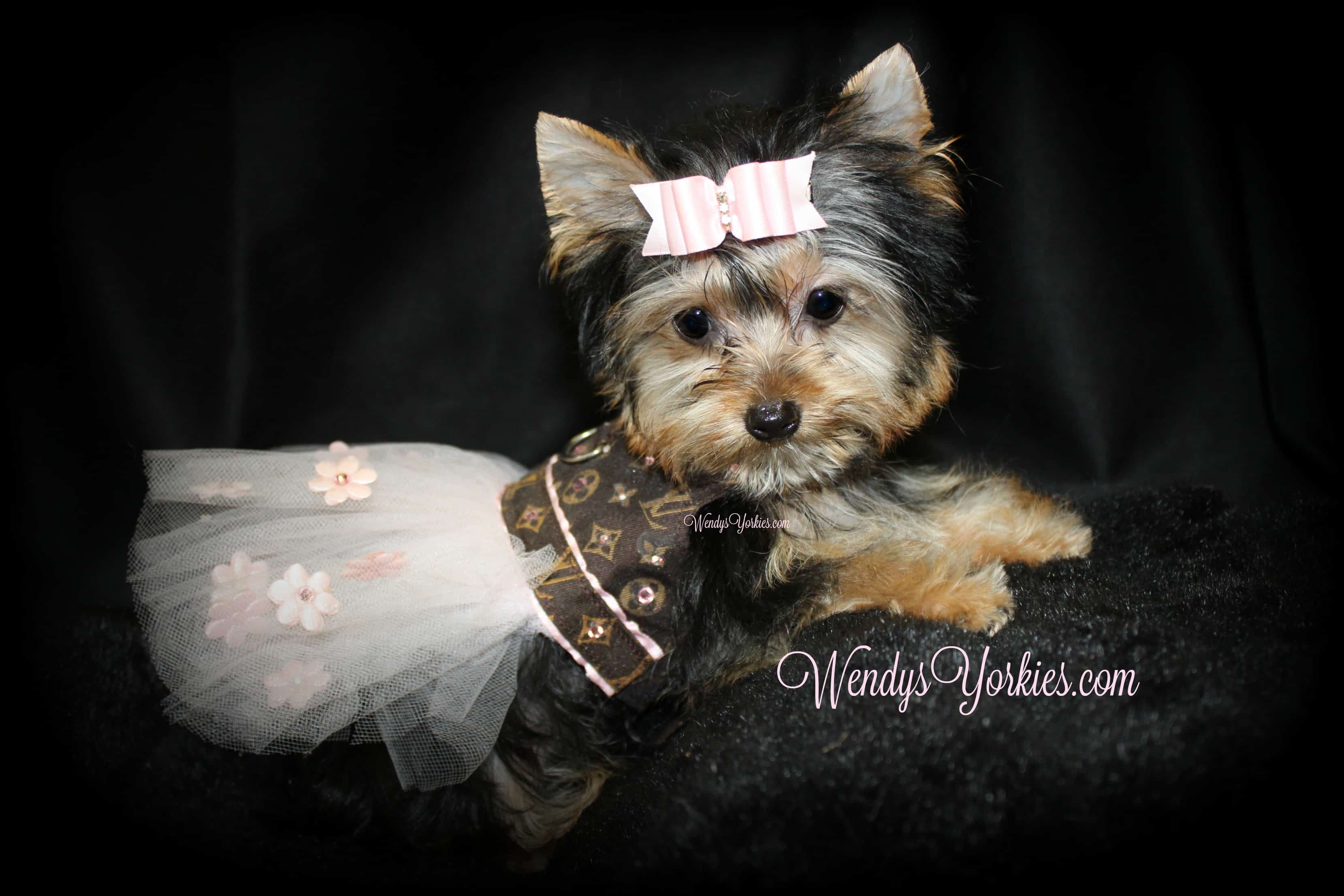 Tiny Teacup Female Yorkie puppy for sale, WendysYorkies.com, Lexie f1