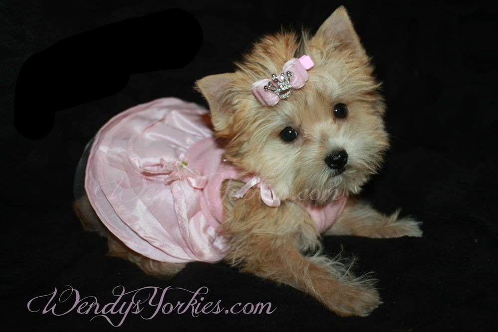 Yorkshire Terrier For Sale in Texas
