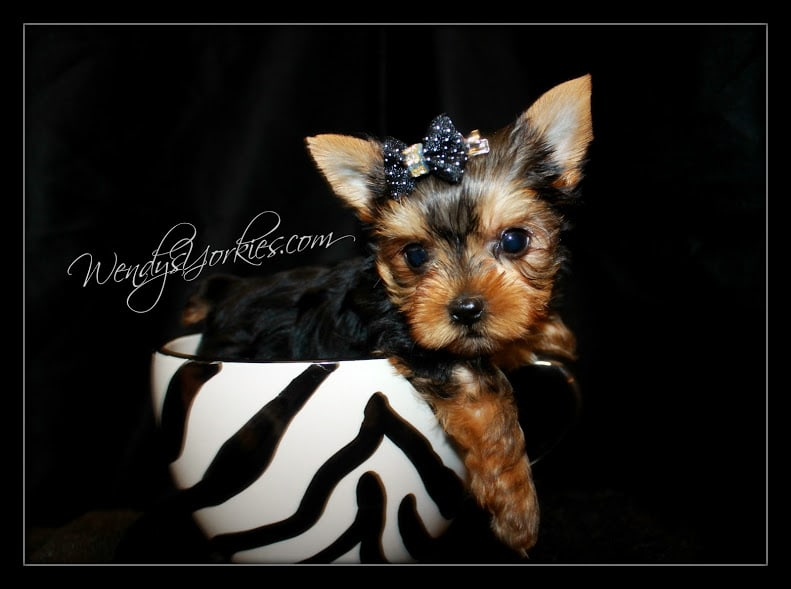 Yorkie puppy for sale in Texas,