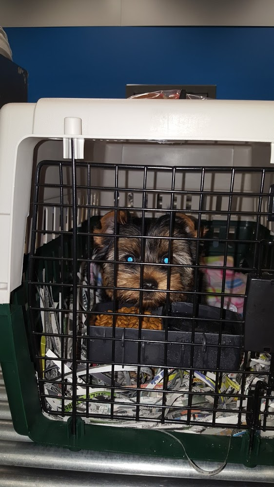 Yorkie Puppy in Crate at a Airport