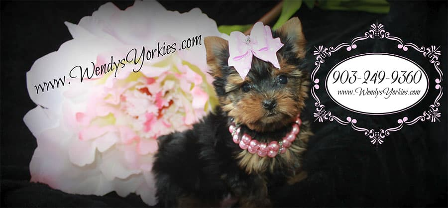 Yorkshire Terrier, Maltese, and Morkie Puppies For Sale in
