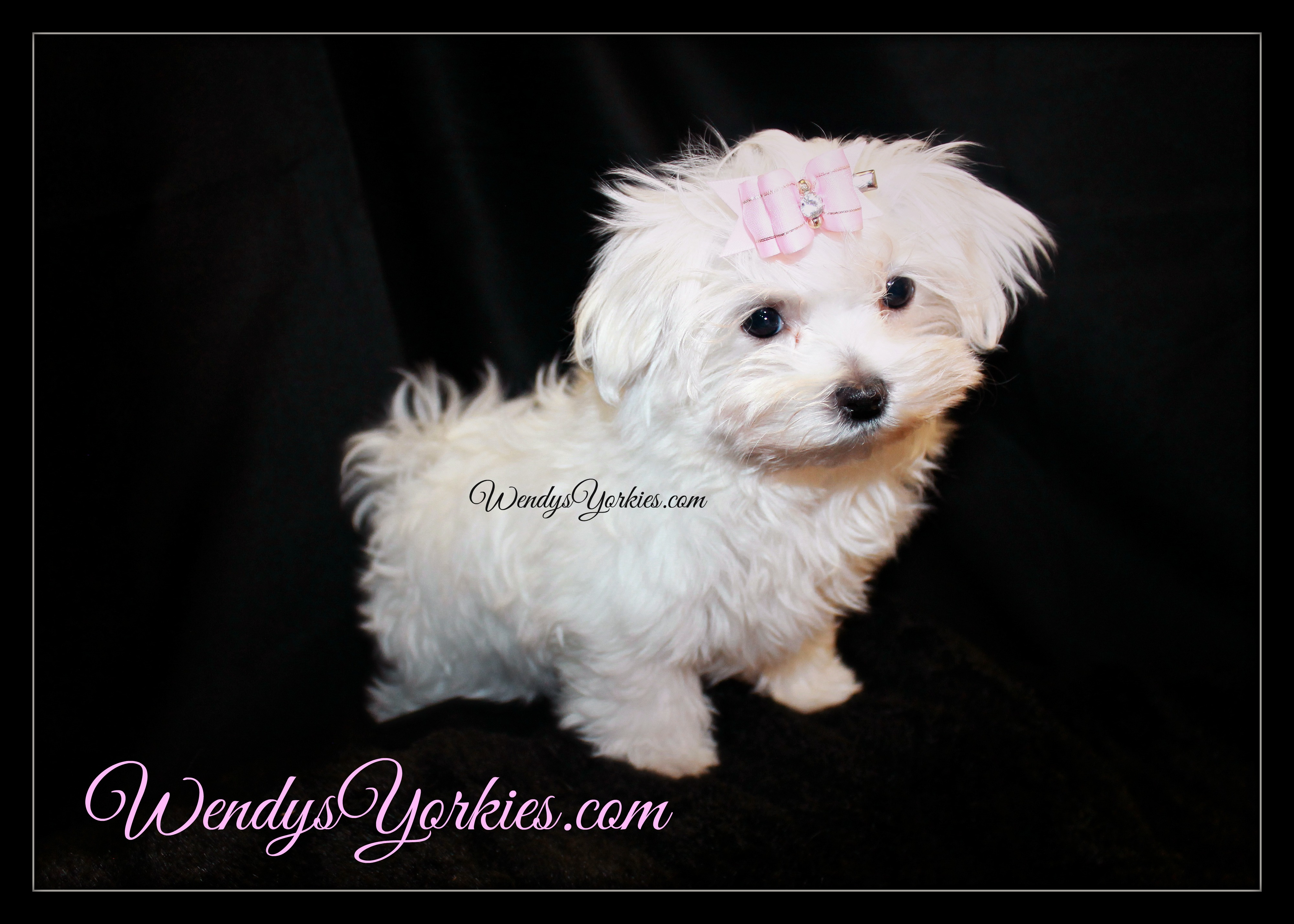 Maltese wendys yorkies teacup maltese puppies for sale nvjuhfo Images