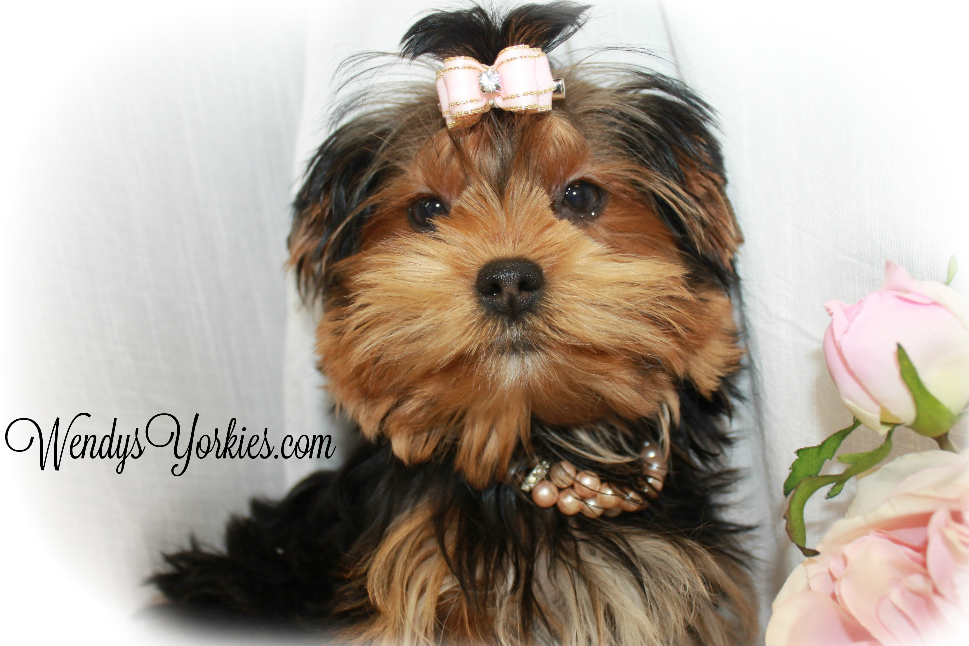 teacup yorkie breeders female teacup yorkie puppies for sale in tx wendys yorkies 9705