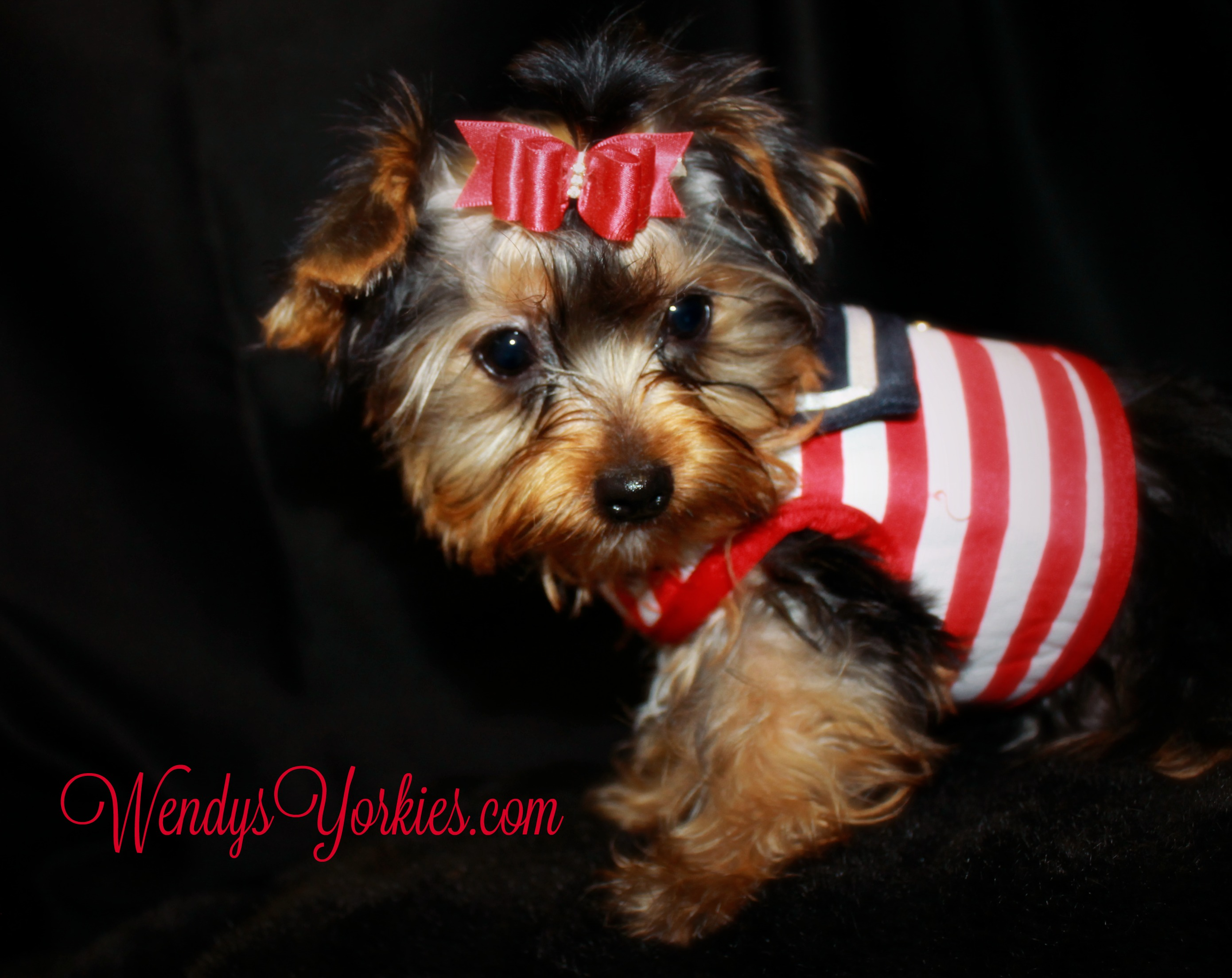 Male Yorkie puppy for sale, WendysYorkies.com, StarAce
