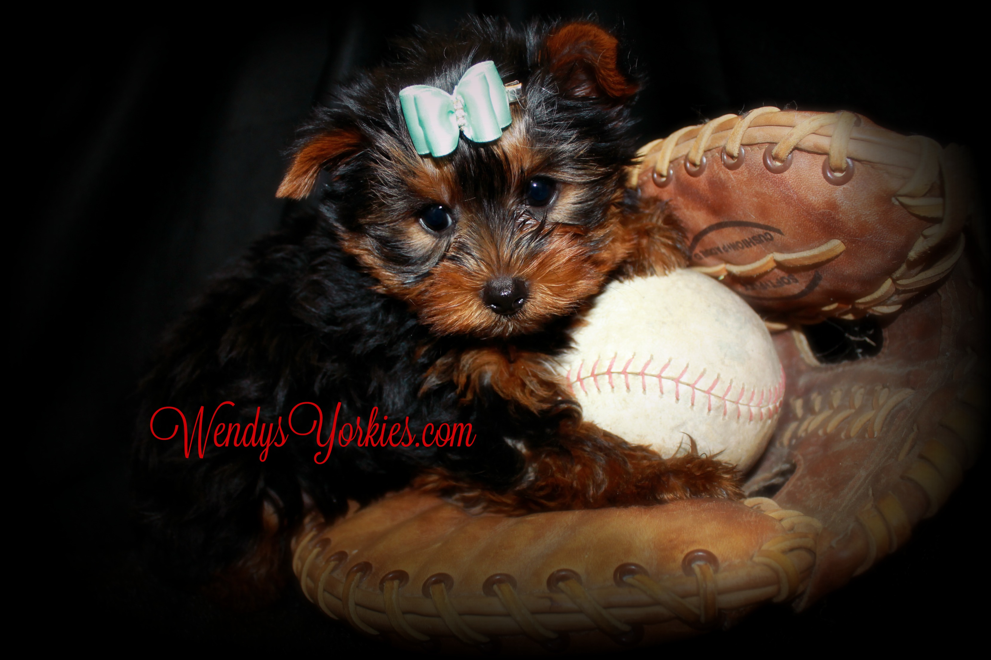 TEacup Yorkie puppy for sale, WendysYorkies.com, Chloe m1