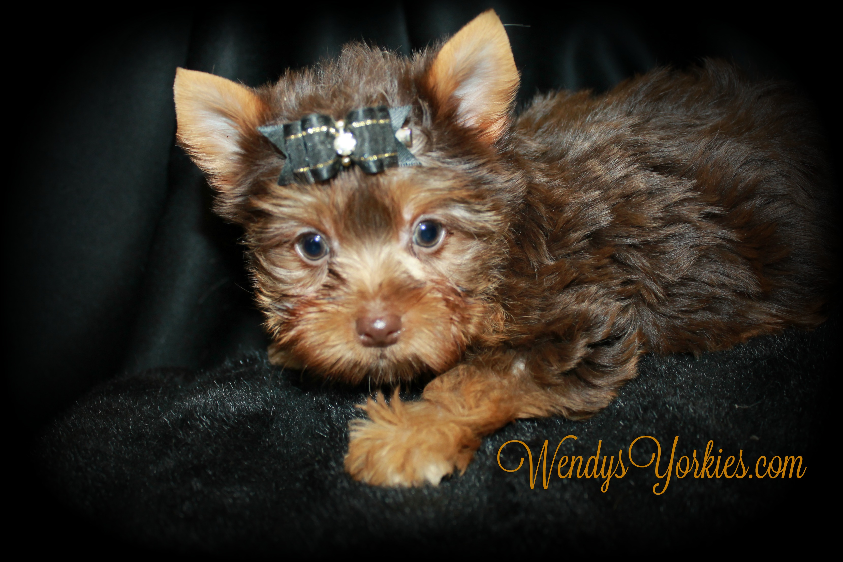 Teacup Chocolate Yorkie puppy for sale, WendysYorkies.com, Skeeter m1