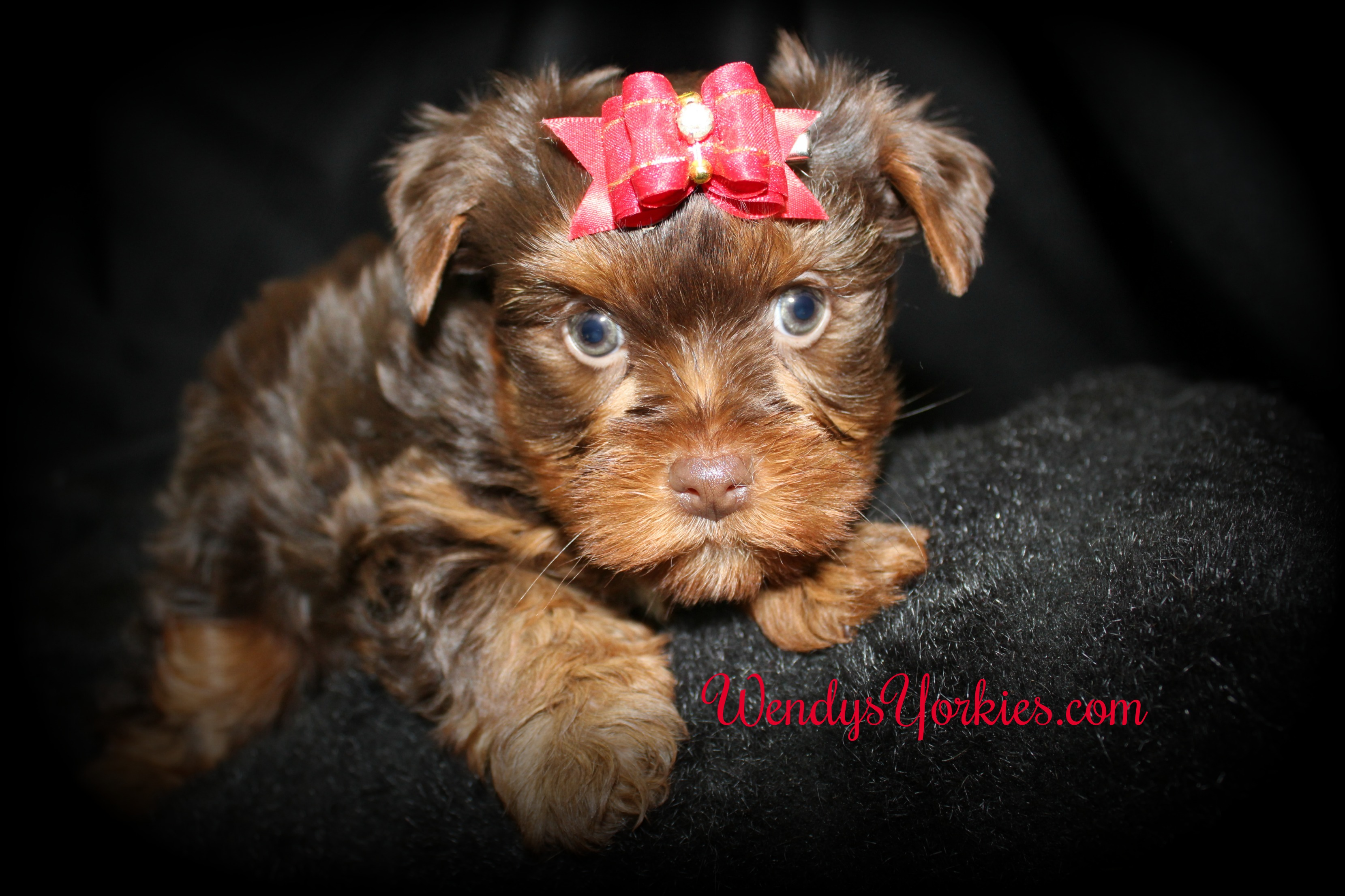 Chocolate Yorkie puppies for sale, WendysYorkies, Lela Cm1