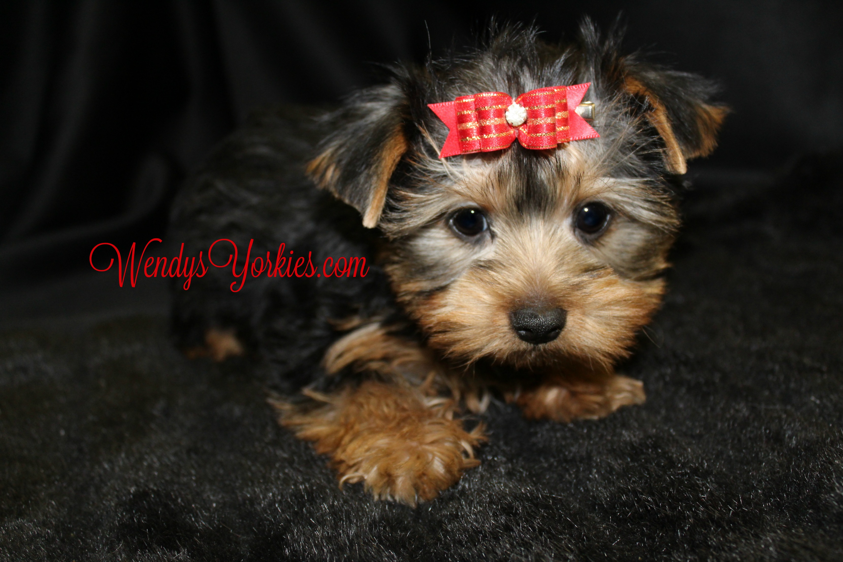 Toy Yorkie puppy for sale, WendysYorkies.com, Ladys Lacy M1
