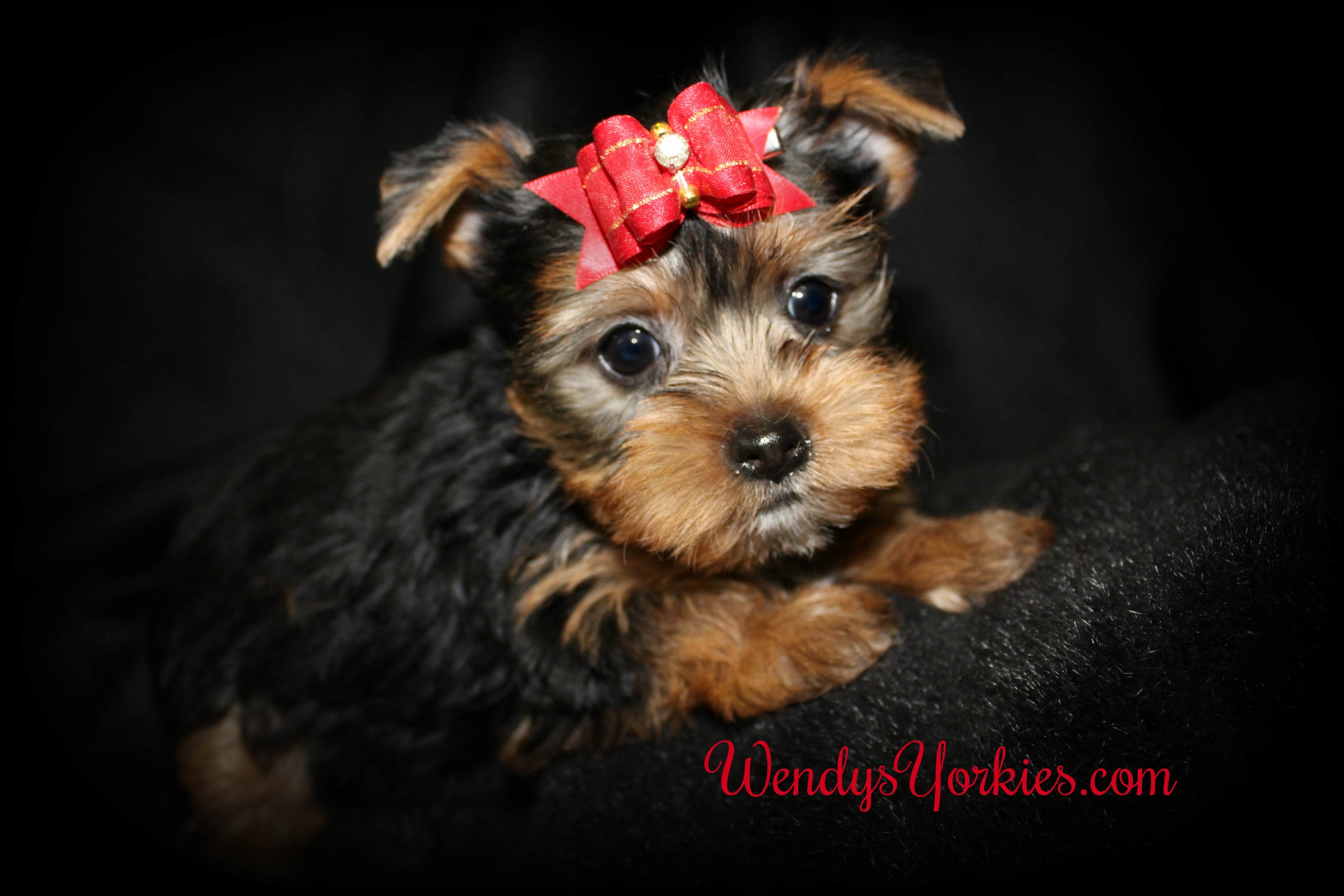 Yorkie puppies for sale, Lacy m1