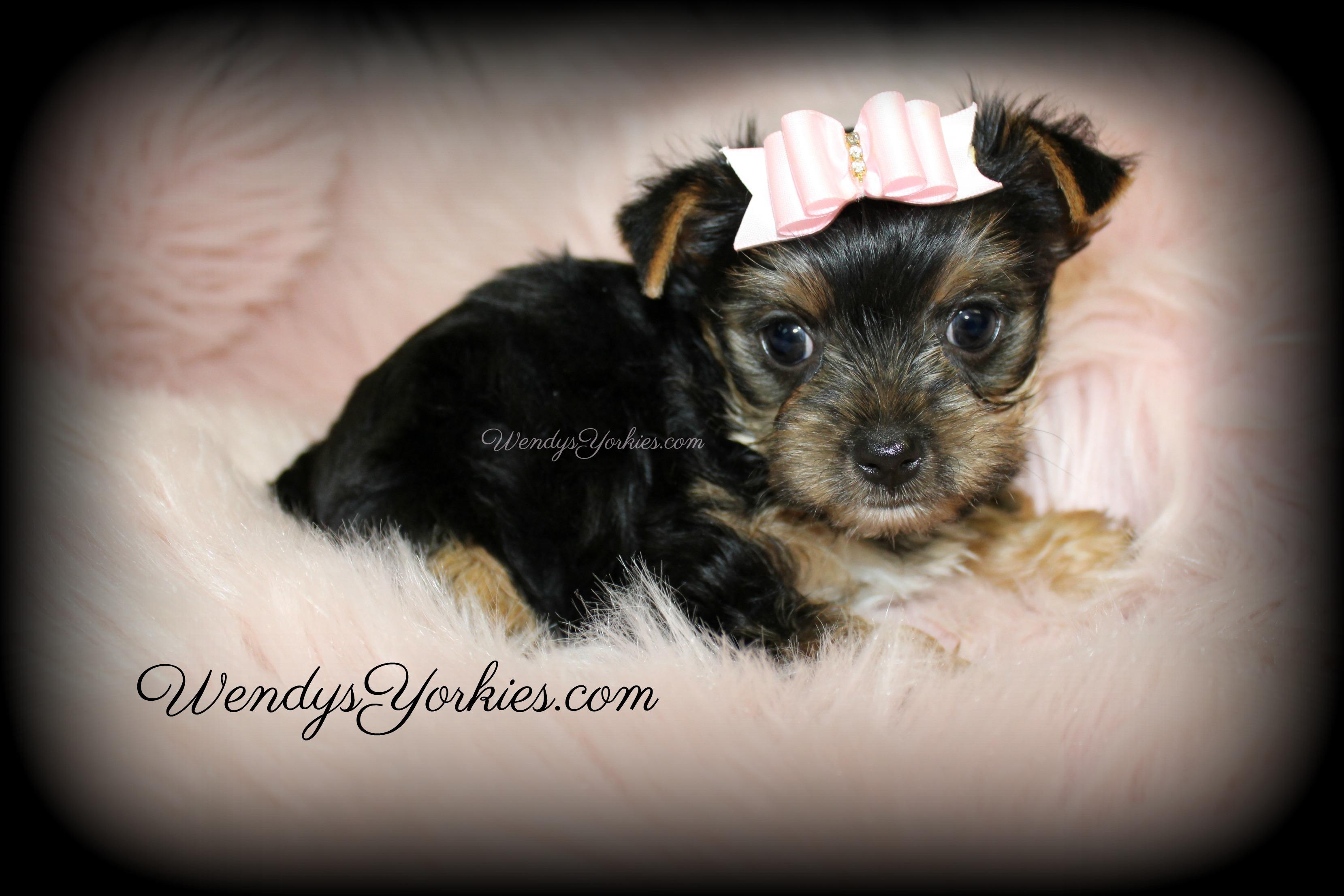 Teacup Yorkie puppies for sale, WendysYorkies.com, Lou lou f1