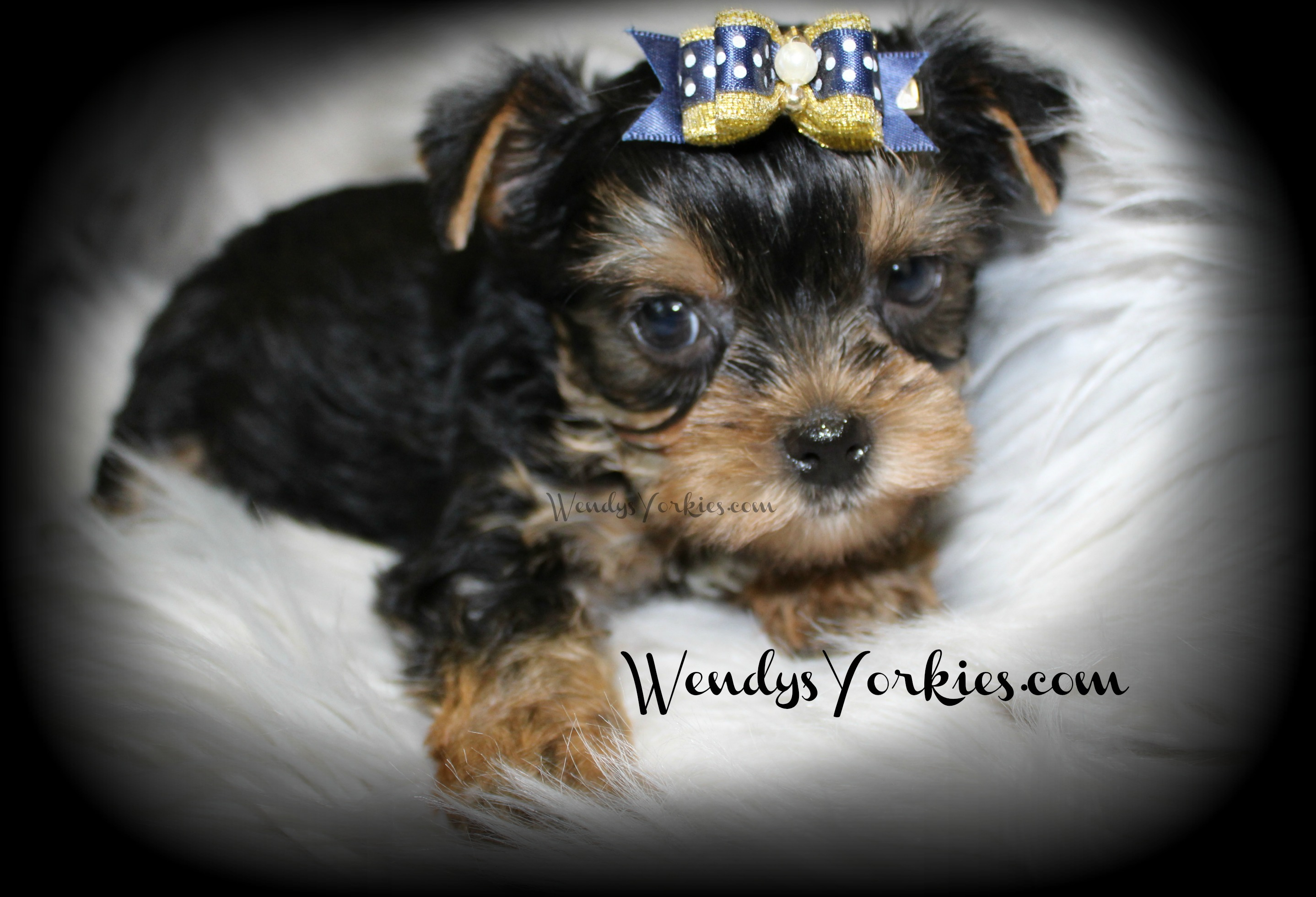 teacup yorkie adults available male yorkshire terrier puppies for sale in tx 9552