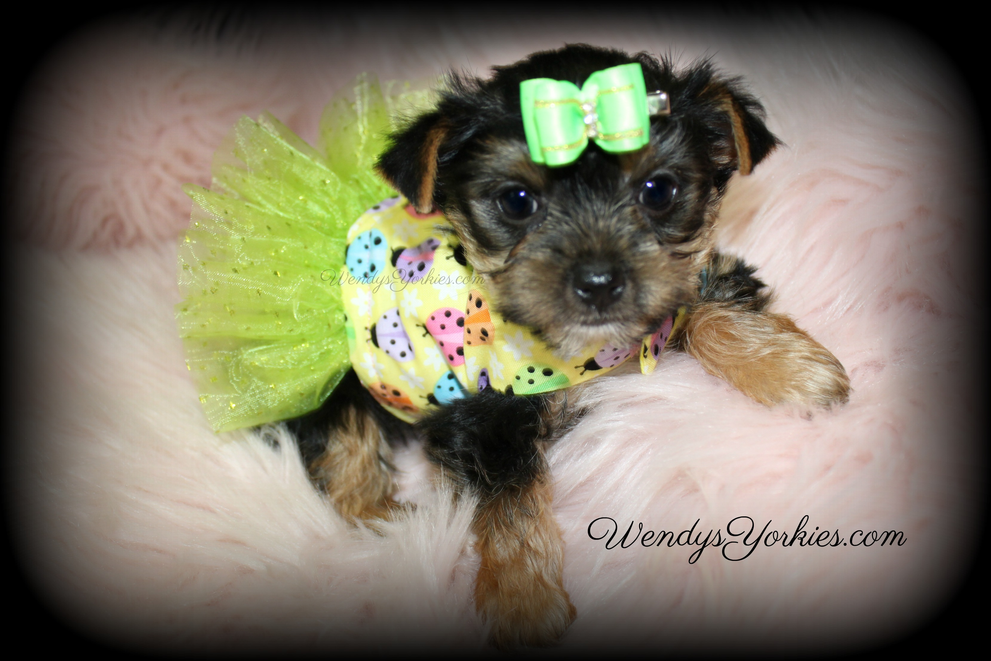 Tiny Yorkie puppies for sale in texas, WendysYorkies.com, Loulou f1