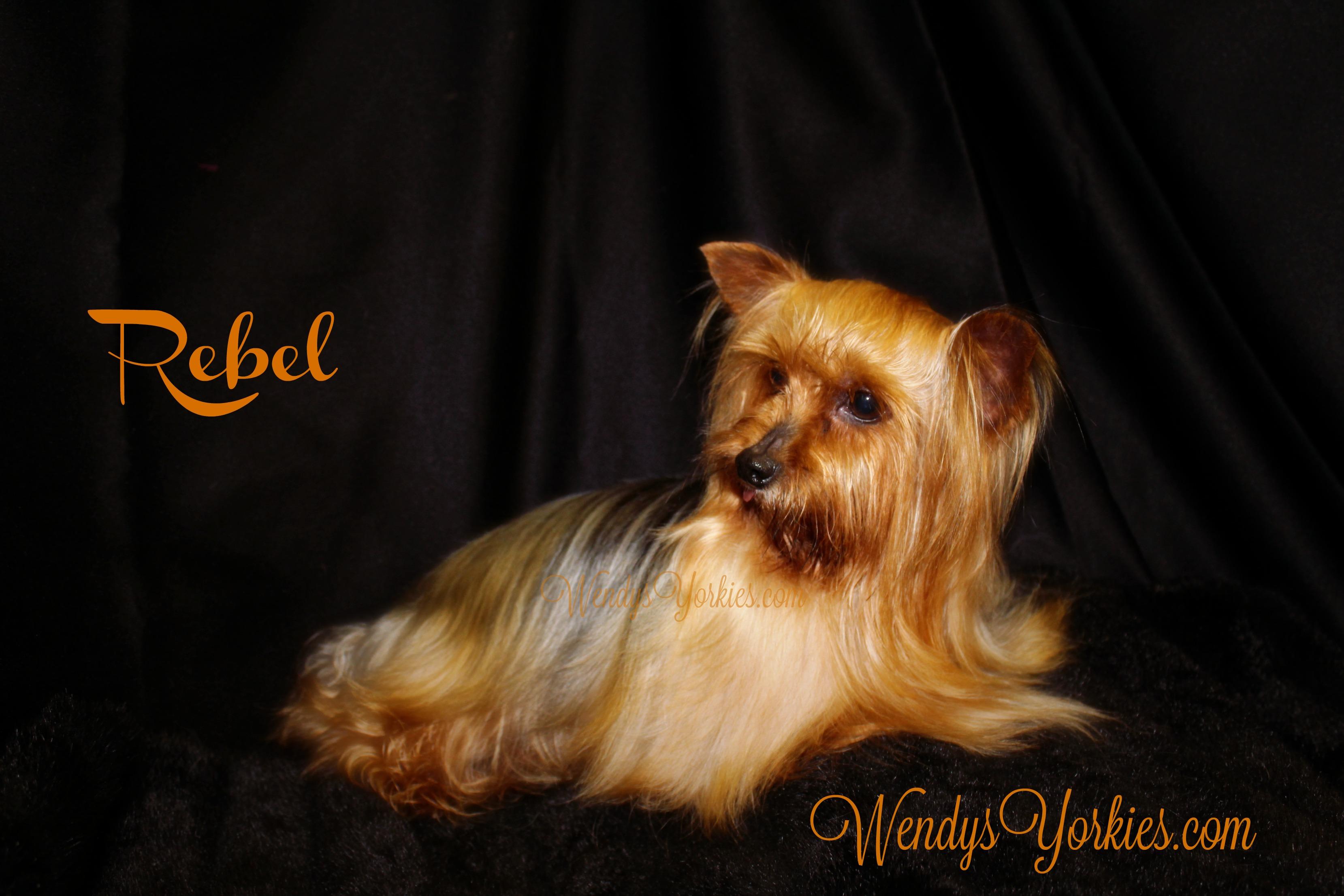 WendysYorkies.com, Yorkshire Terrier breeder, Male Stud Rebel