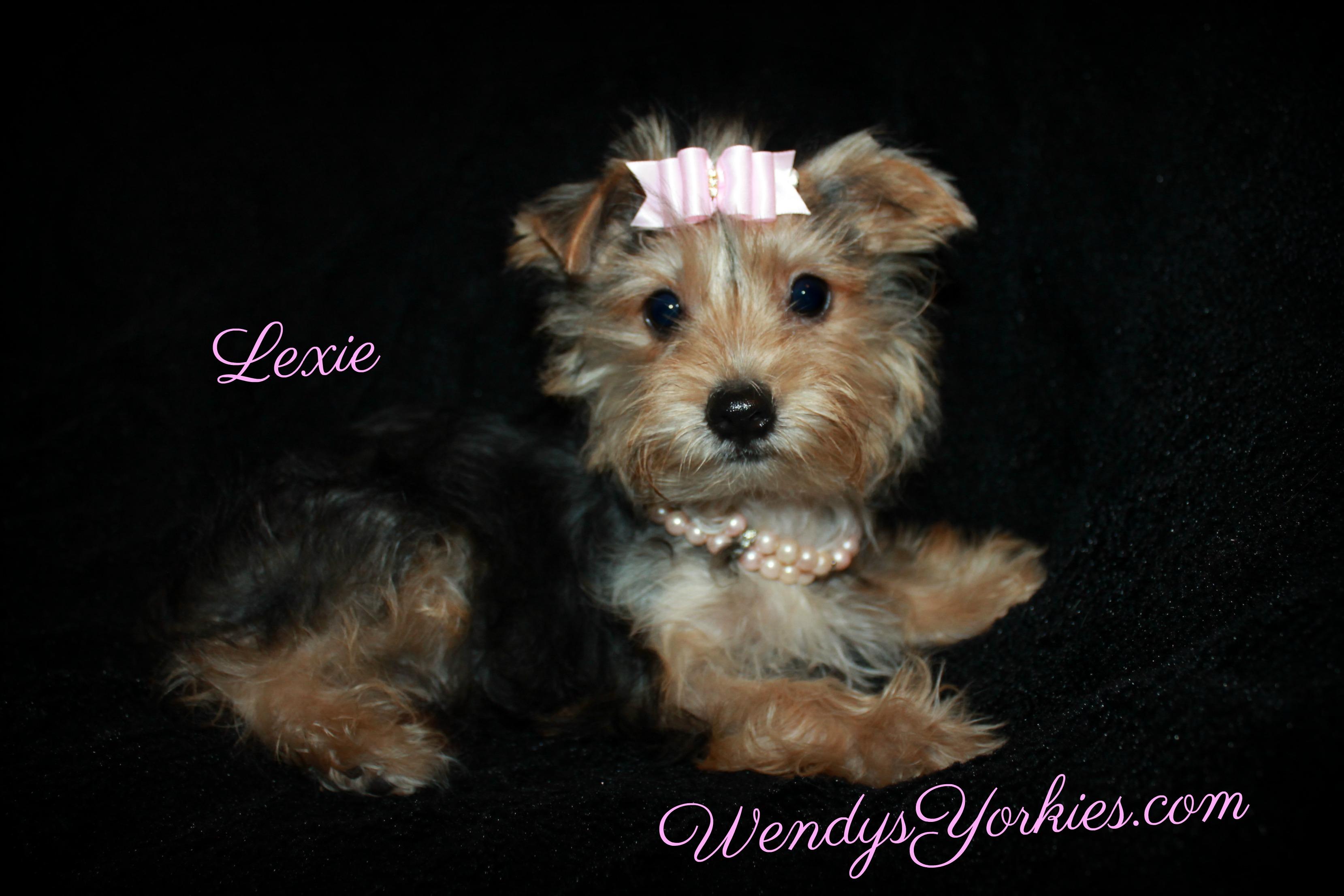 Yorkie breeder in Texas, WendysYorkies.com, Lexie