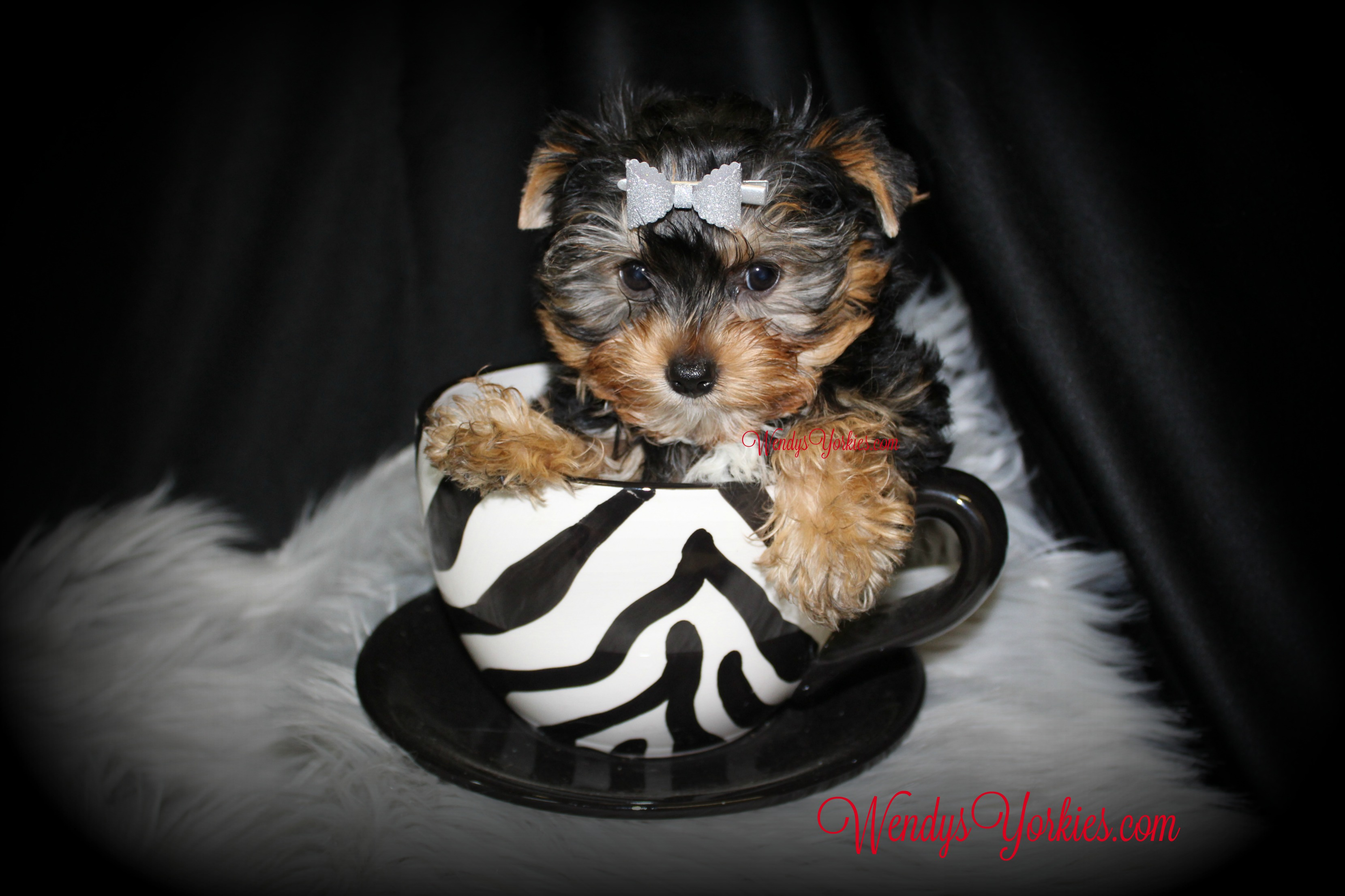 Cute Yorkie puppy for sale, WendysYorkies.com, Lexie Tm1