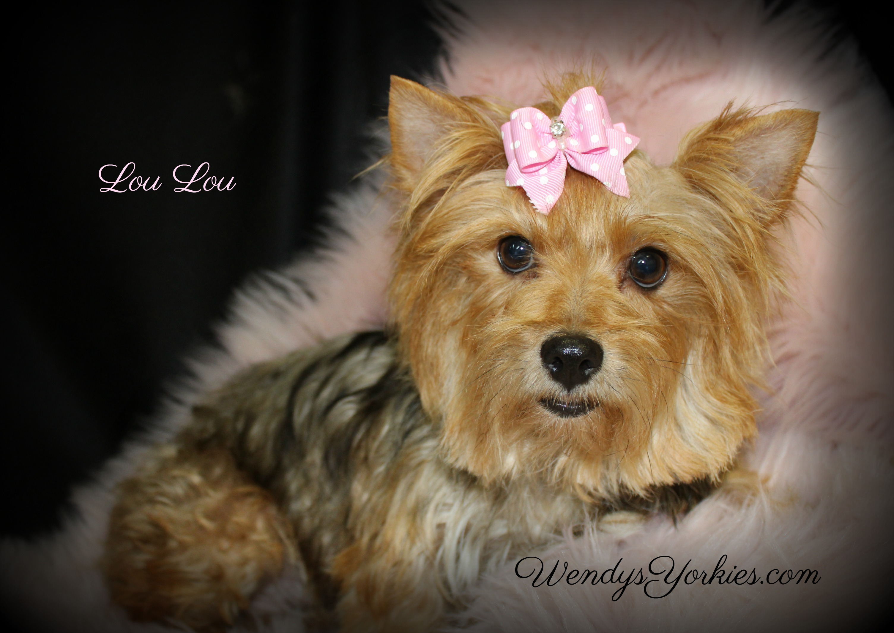 Female Yorkie, WendysYorkies.com, Yorkie puppy breeder in Texas, Loulou