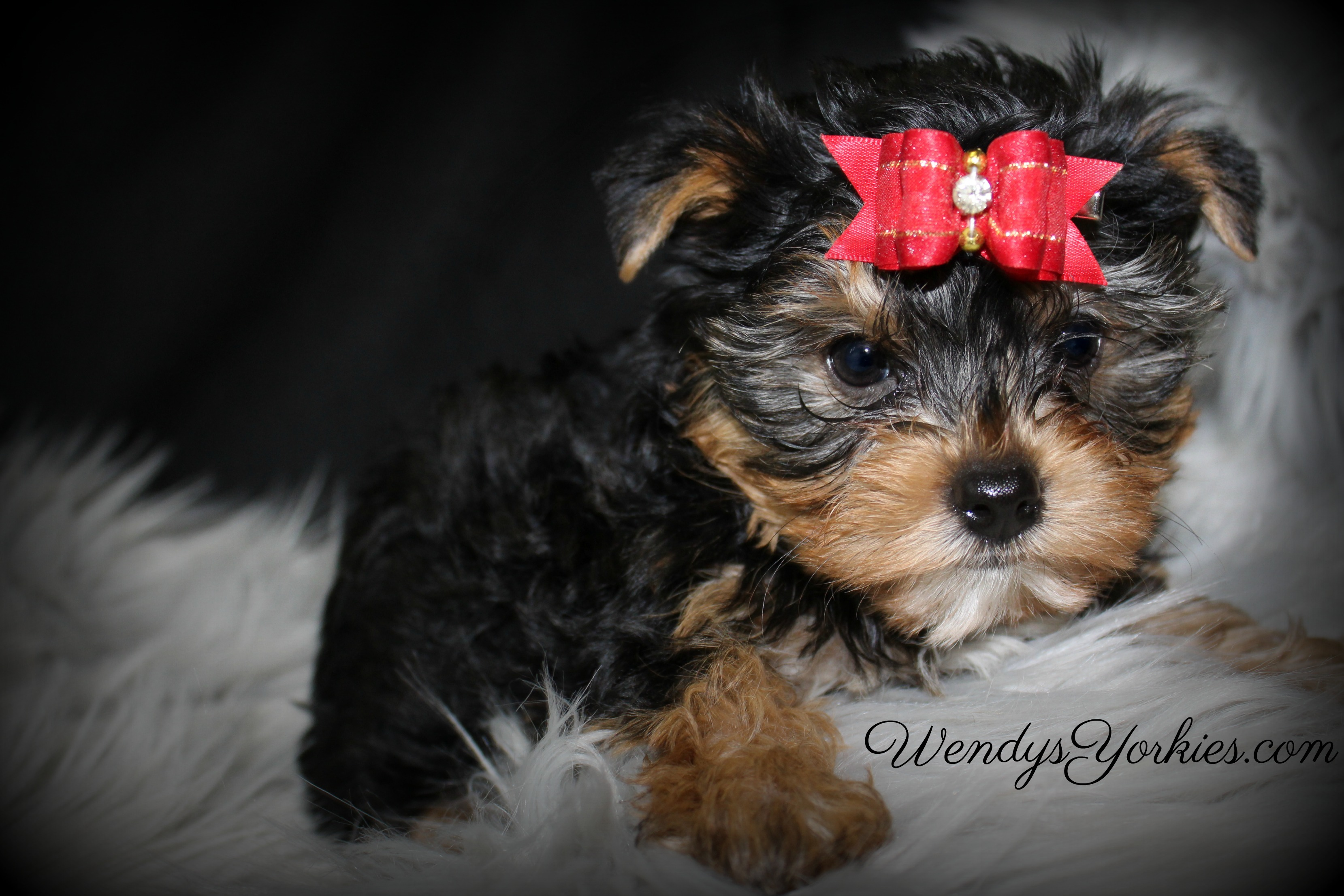 Male Yorkie puppy for sale, WendysYorkies.com, Lexie m1