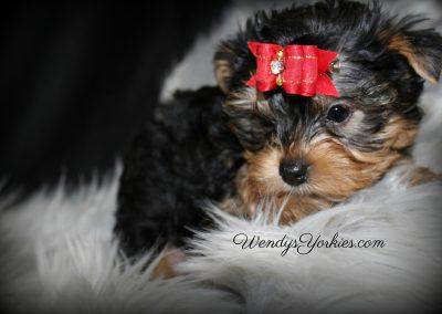 Yorkie puppies for sale, WendysYorkies.com, Lexie m1