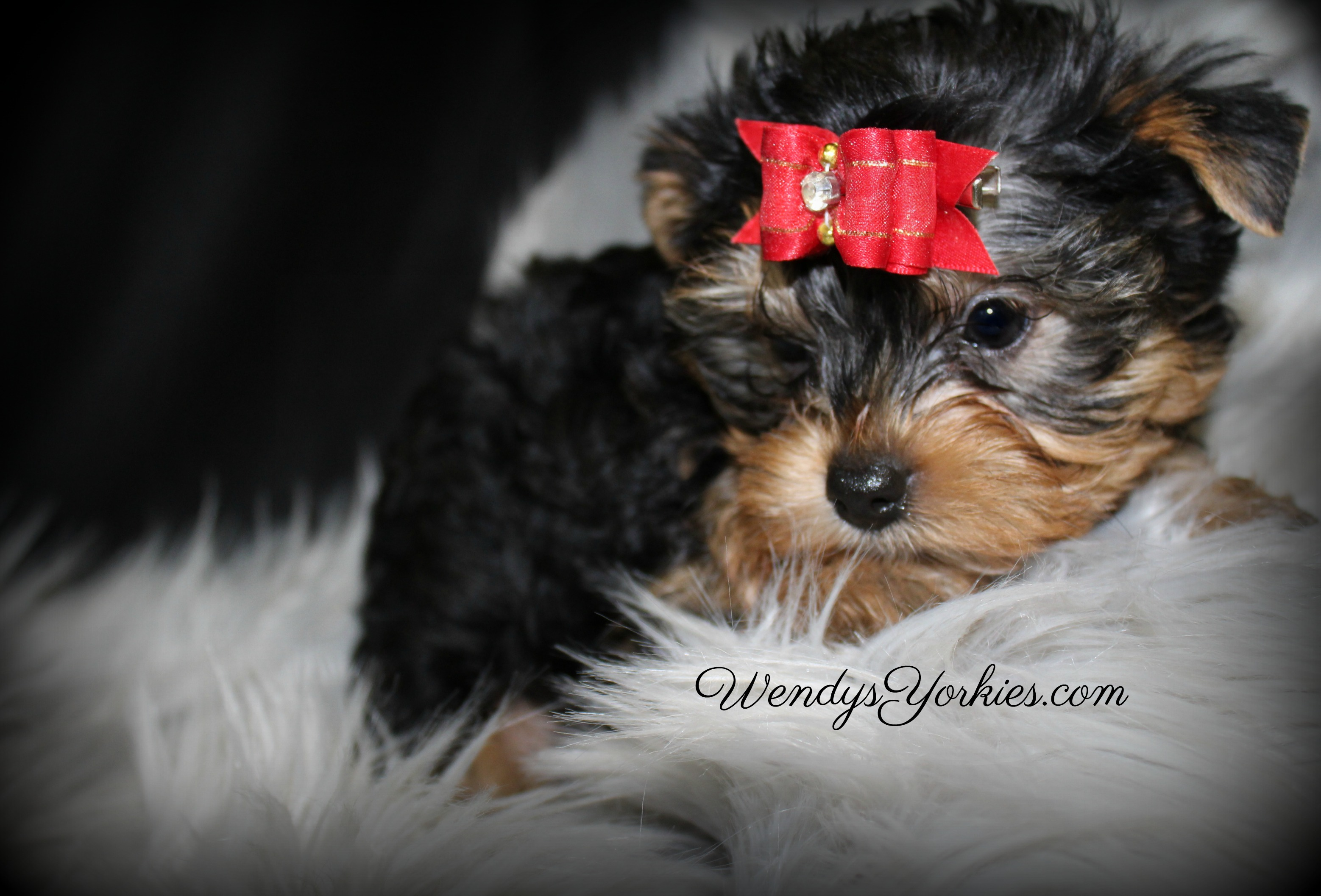 Yorkie Puppies For Sale In Tx