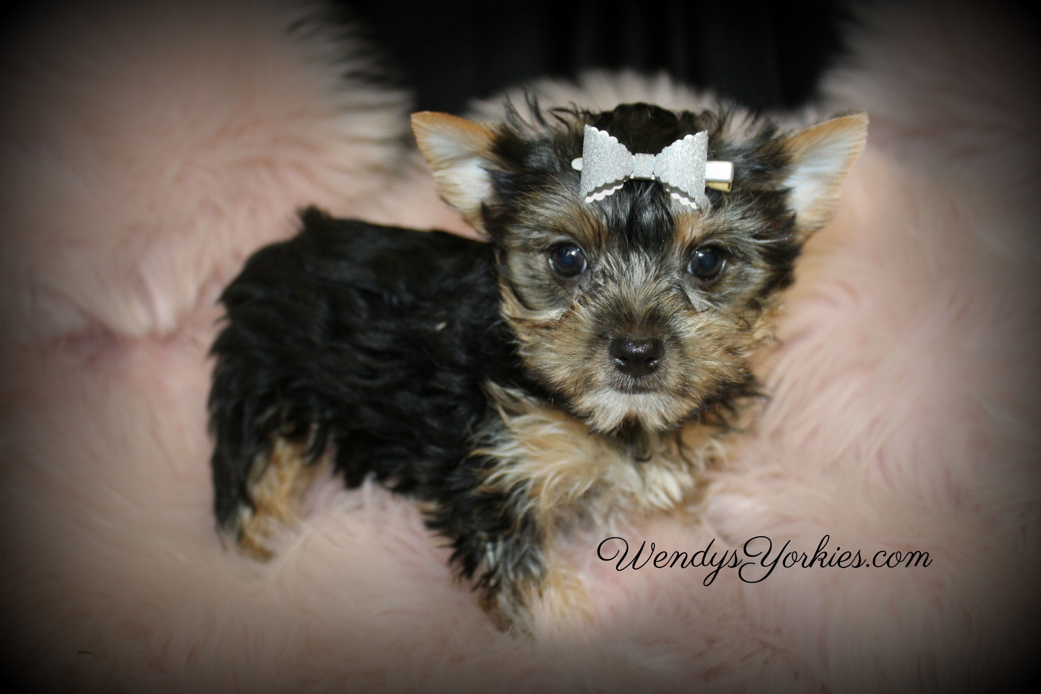 Yorkie puppy for sale, WendysYorkies.com, Loulou f3