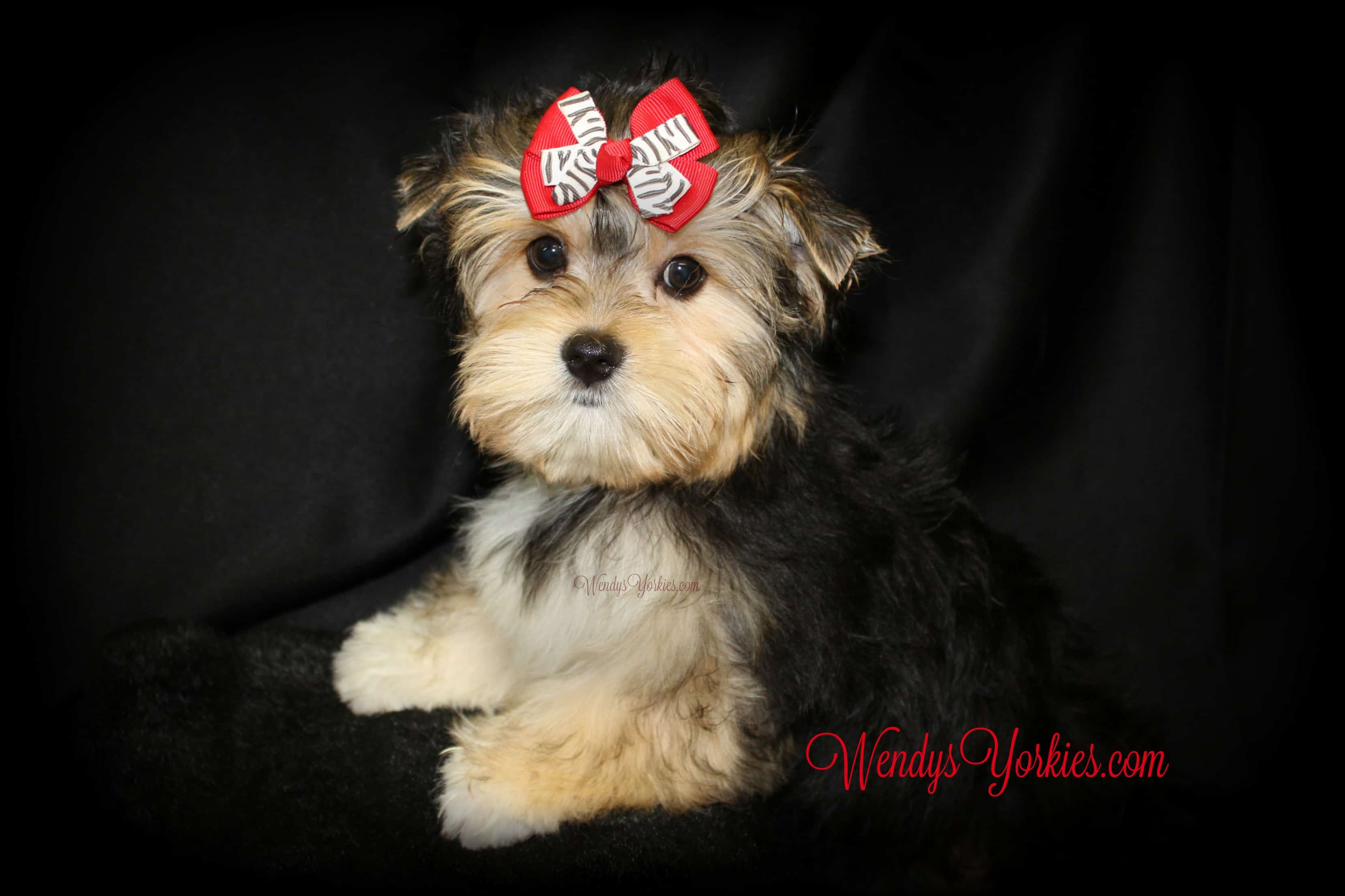 Male Morkie puppy for sale, WendysYorkies.com
