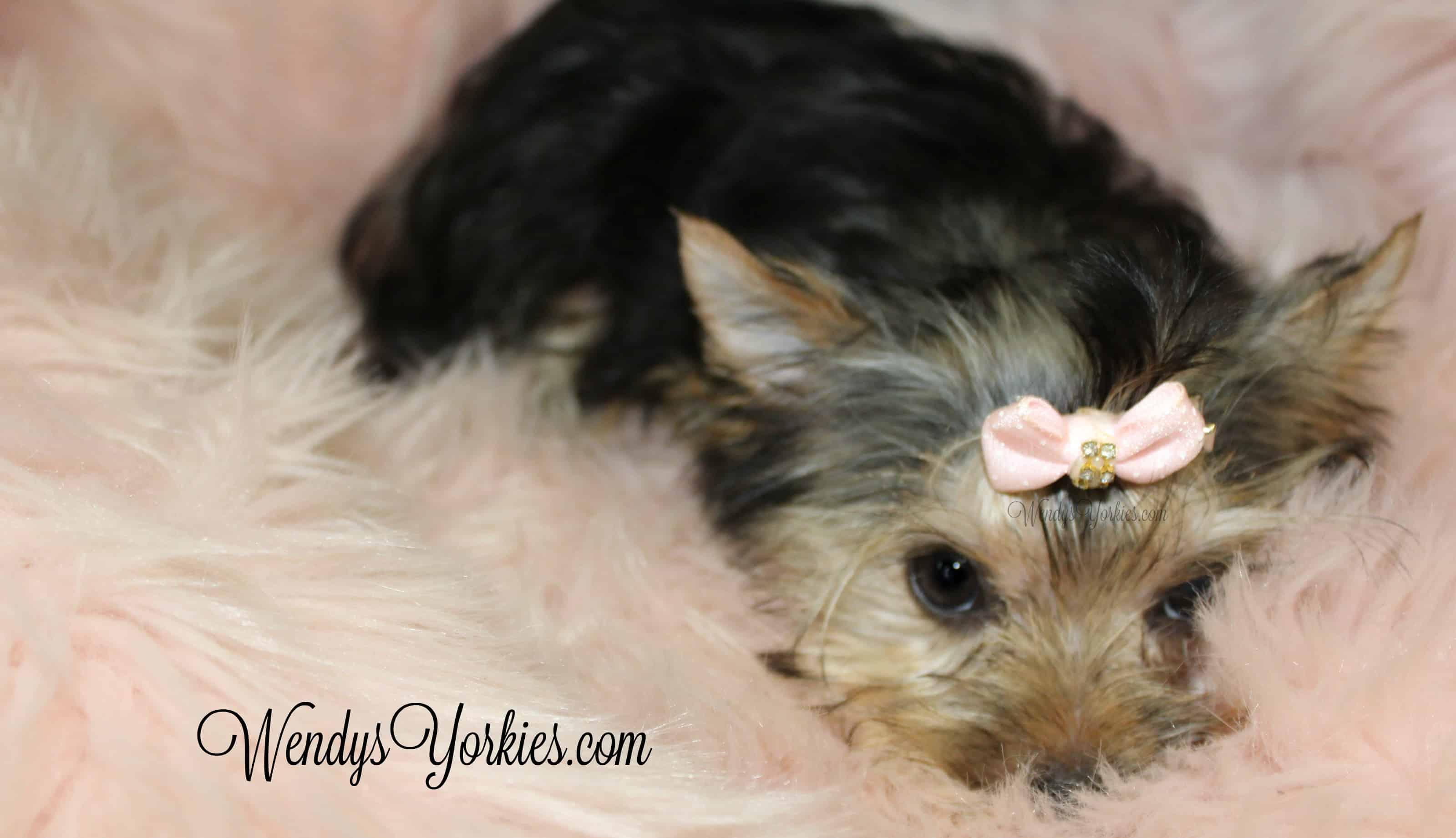 Teacup Yorkie puppy for sale, WEndysYorkies.com