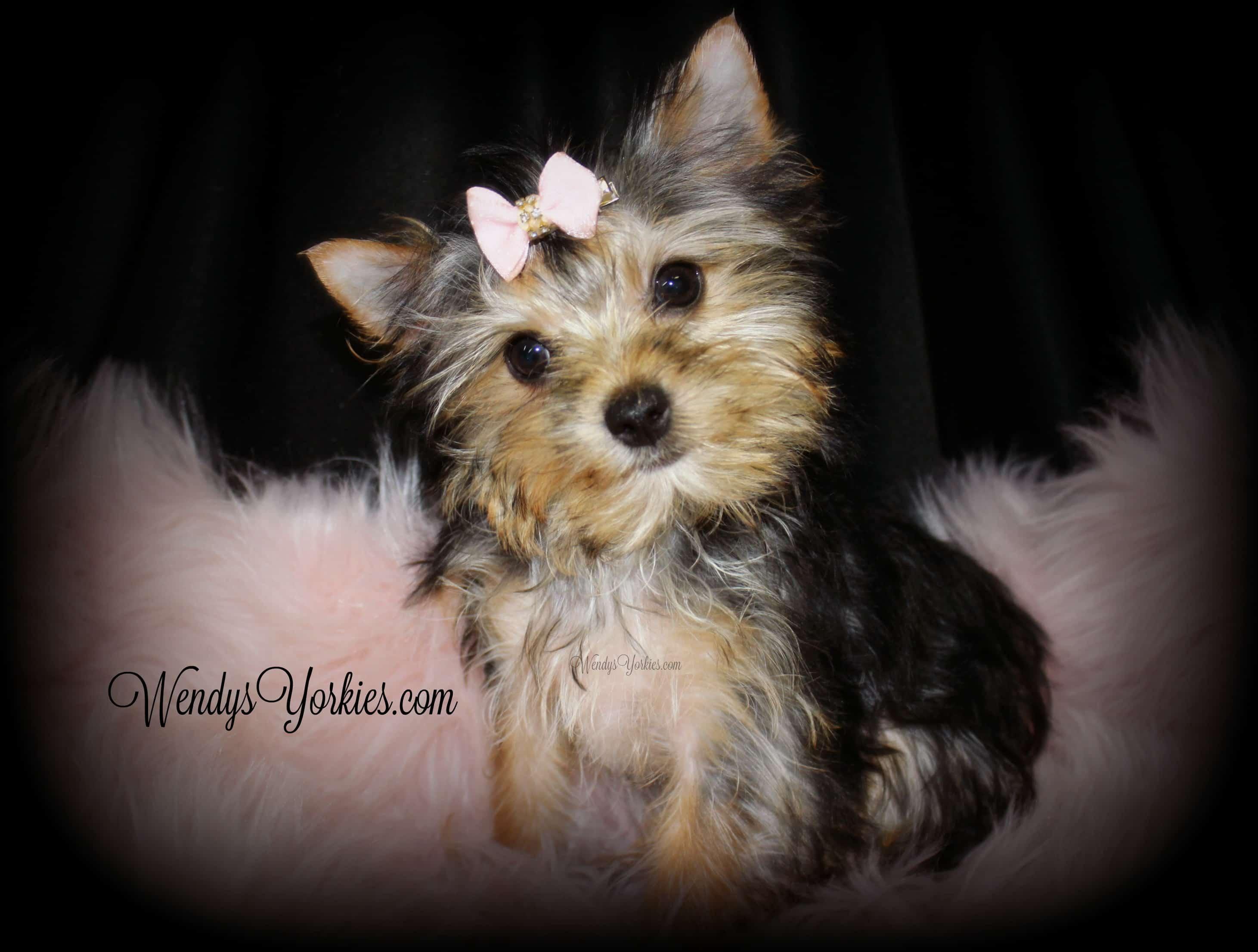 Teacup Yorkie puppy for sale, WendysYorkies.com, Lou lou f1
