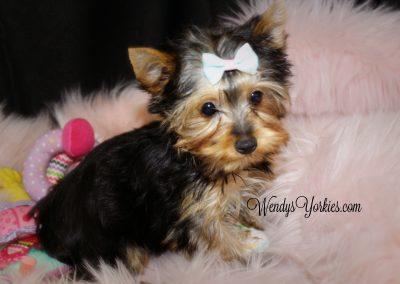 Lacy - Tiny Toy Size Female Yorkie Puppy 2018