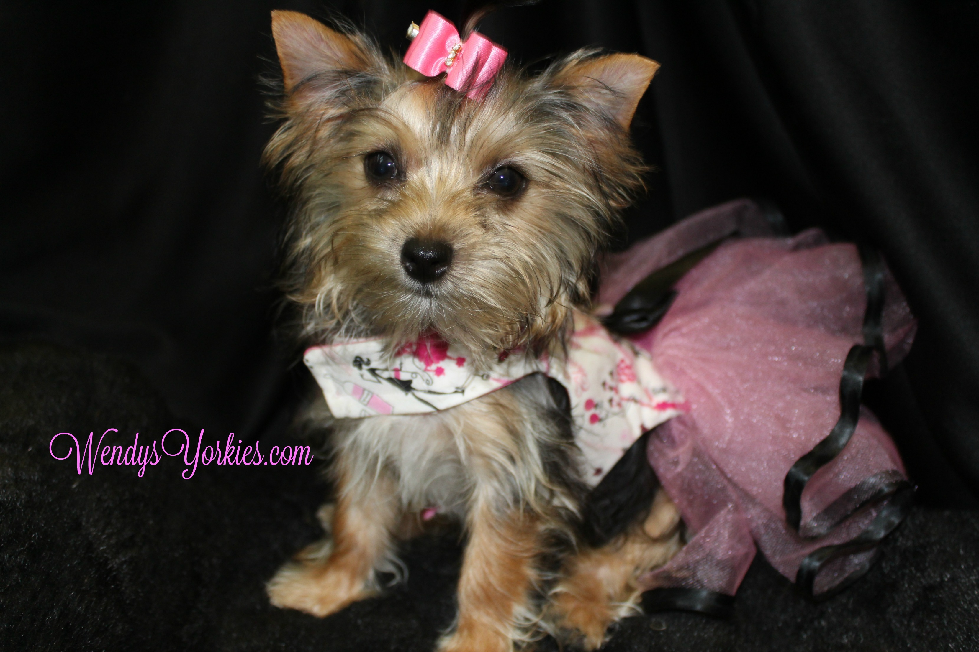 Teacup Yorkie puppy for sale, WendysYorkies.com, Blossom,