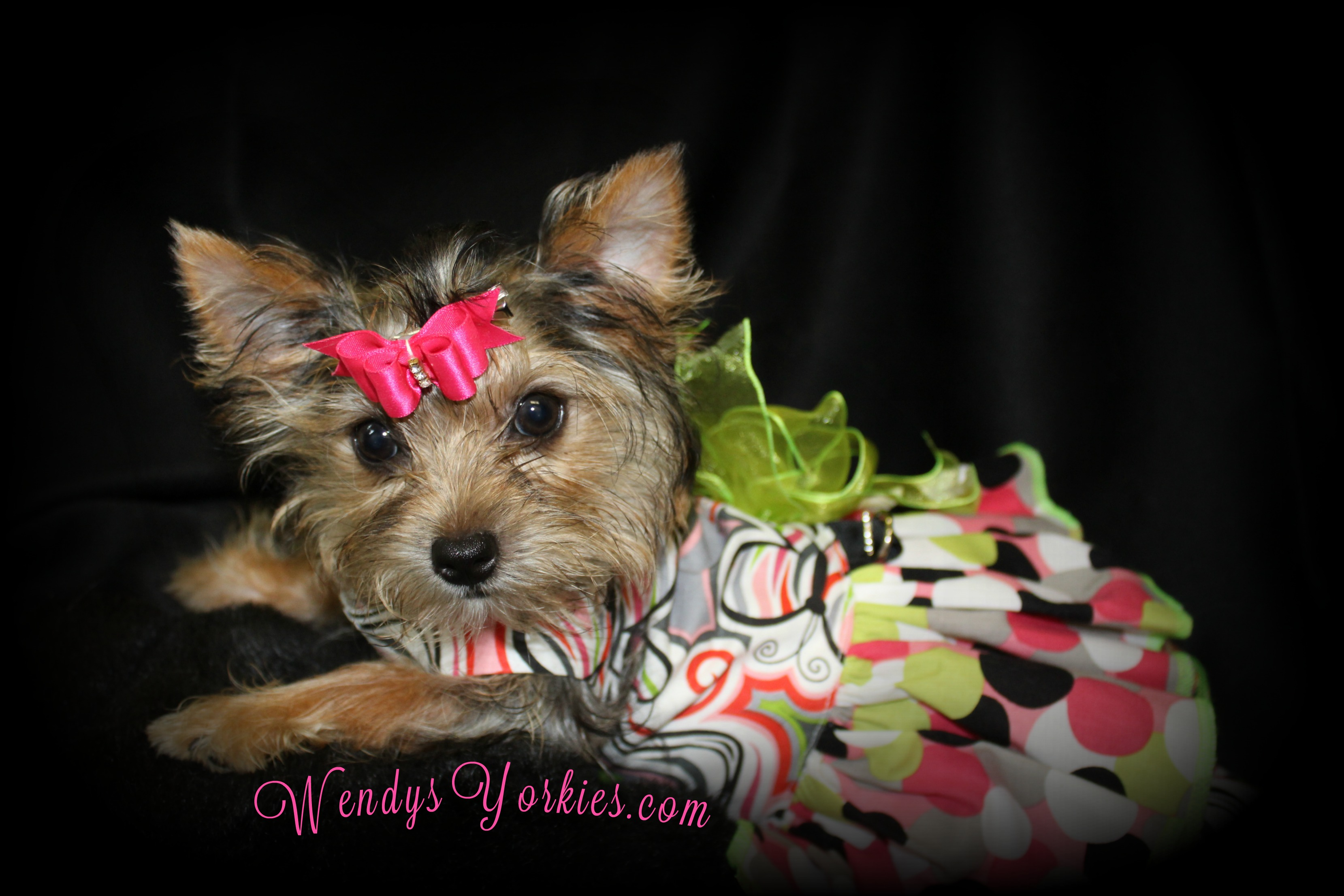 Teacup Yorkie puppy for sale, WendysYorkies.com, Blossom