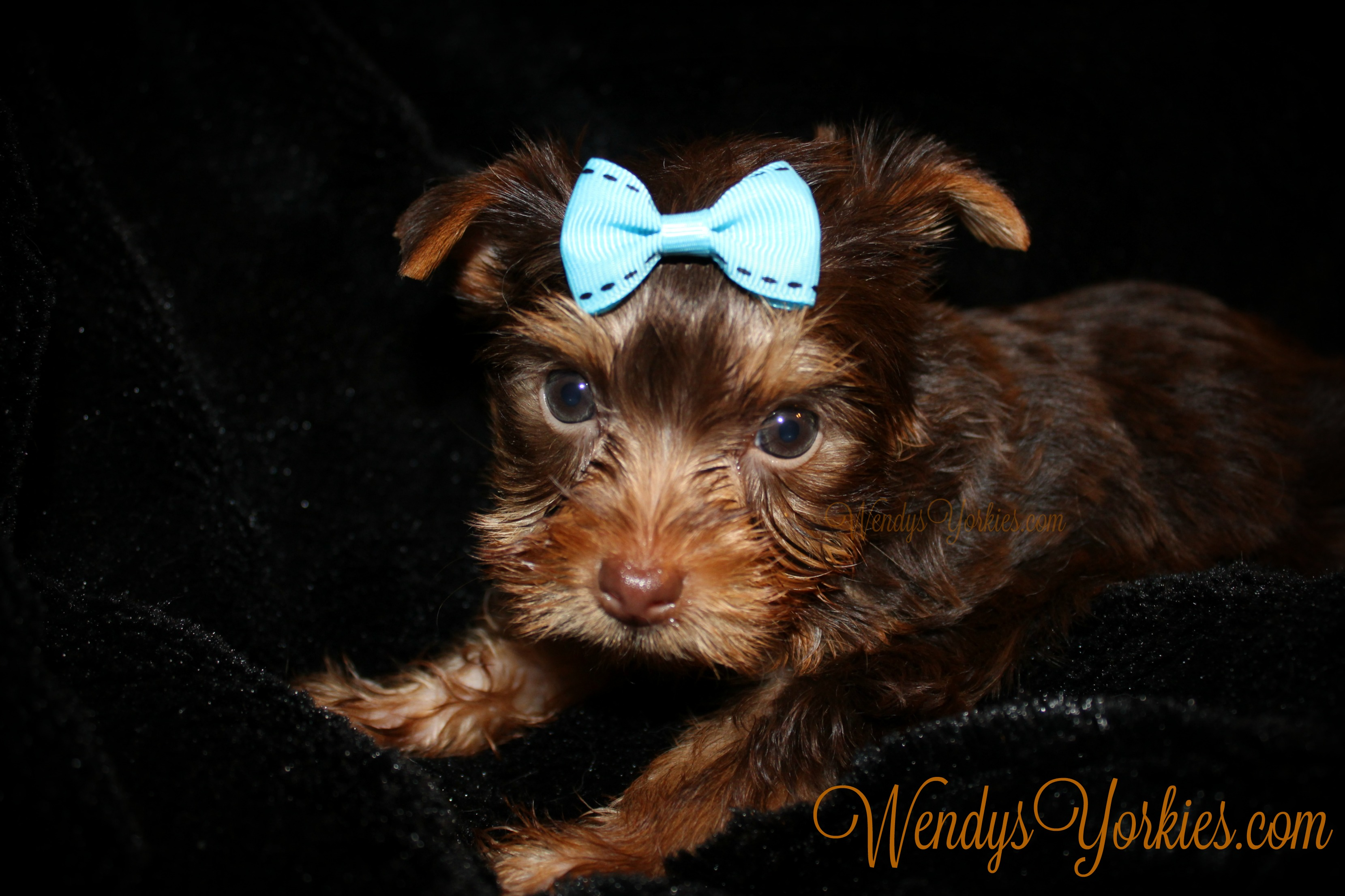 Rhett- Chocolate Male Teacup Yorkie Puppy