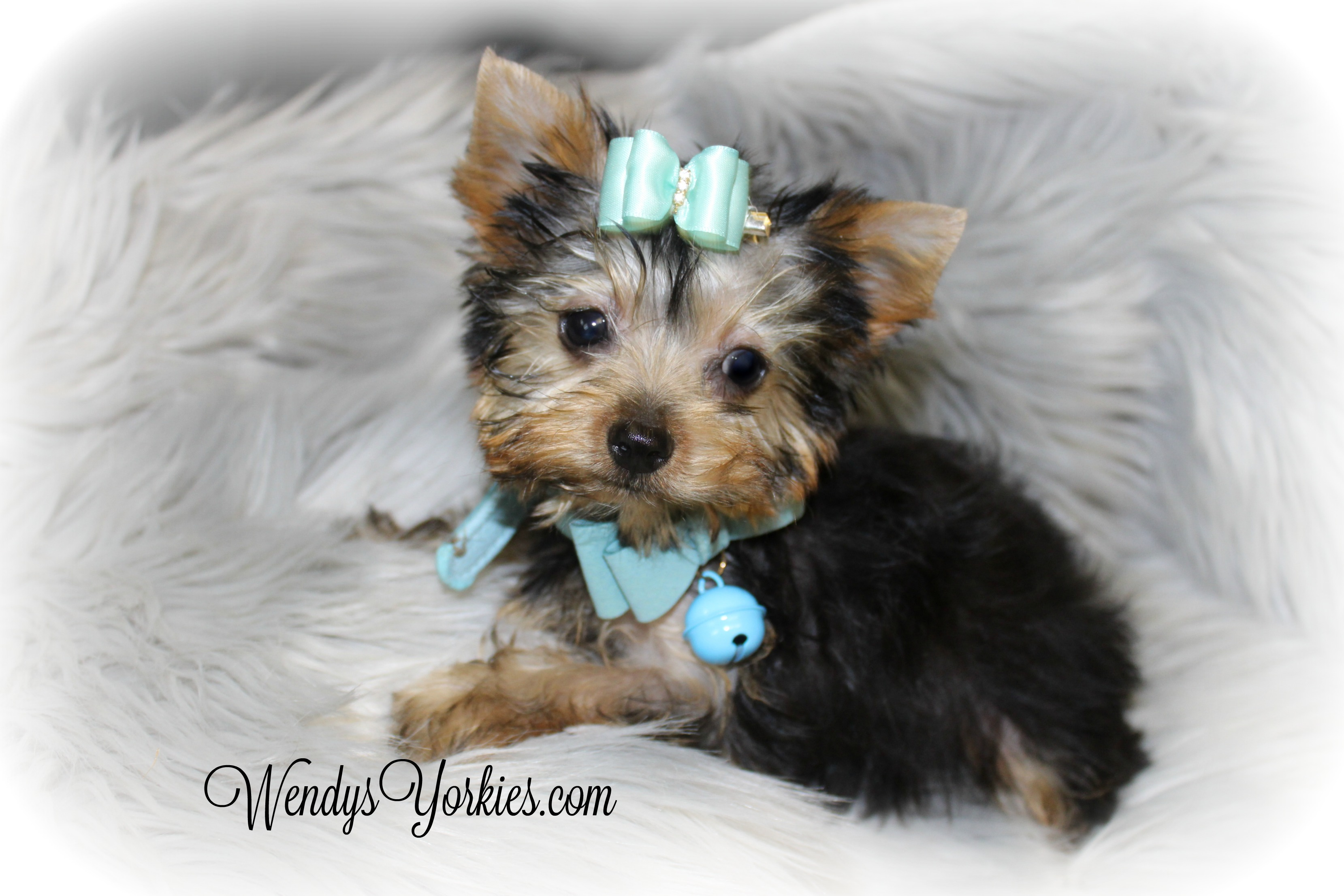 Bear- Male Teacup Yorkie Puppy