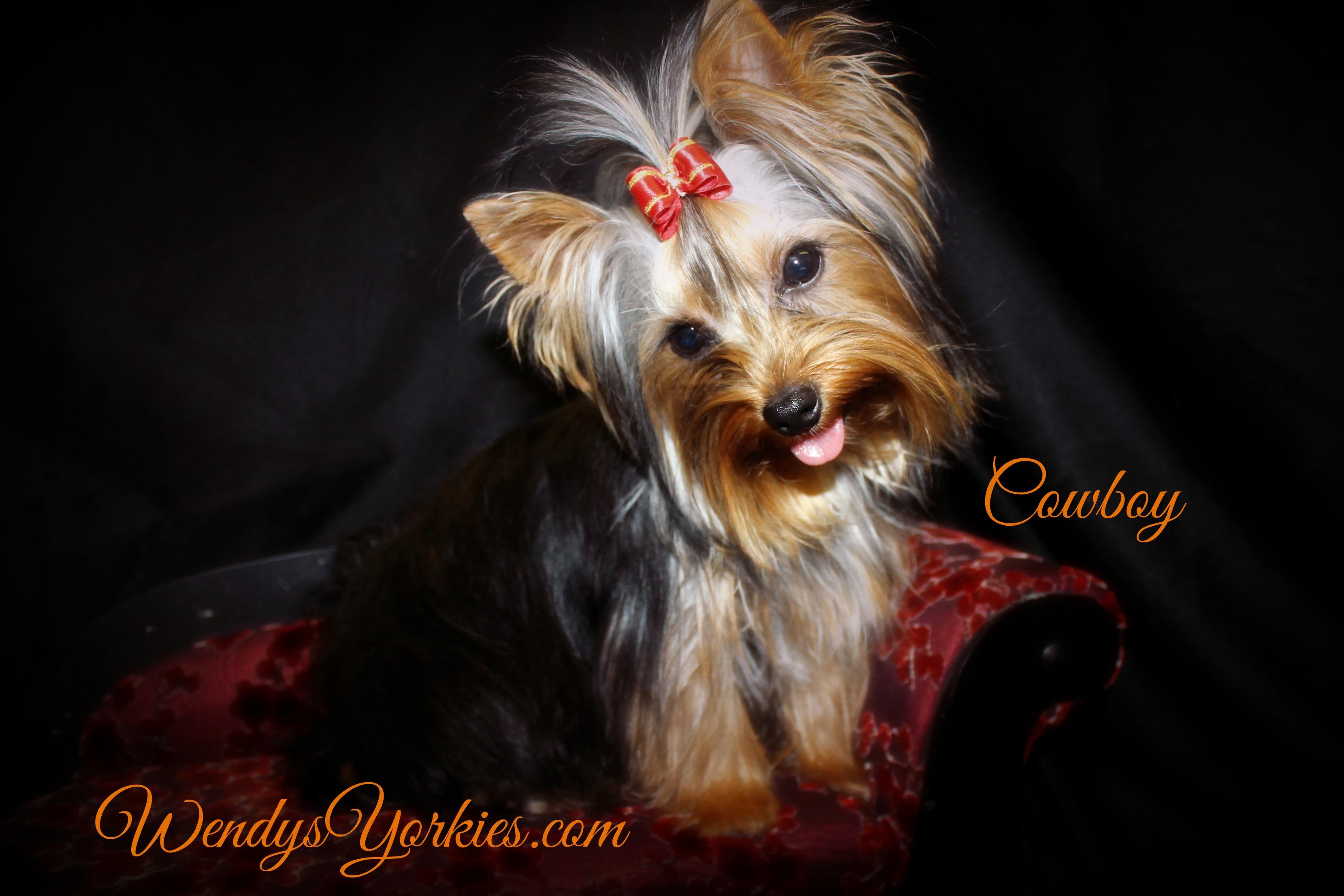 WendysYorkies, Yorkie breeder in Texas, Yorkie puppy breeder, Cowboy Yorkie Stud