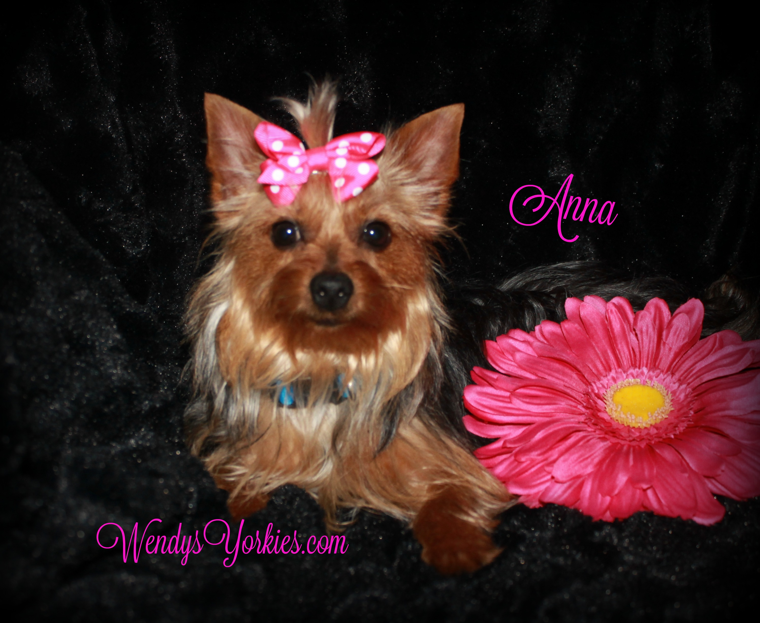 WendysYorkies.com, Yorkie puppy breeder in Texas, Anna