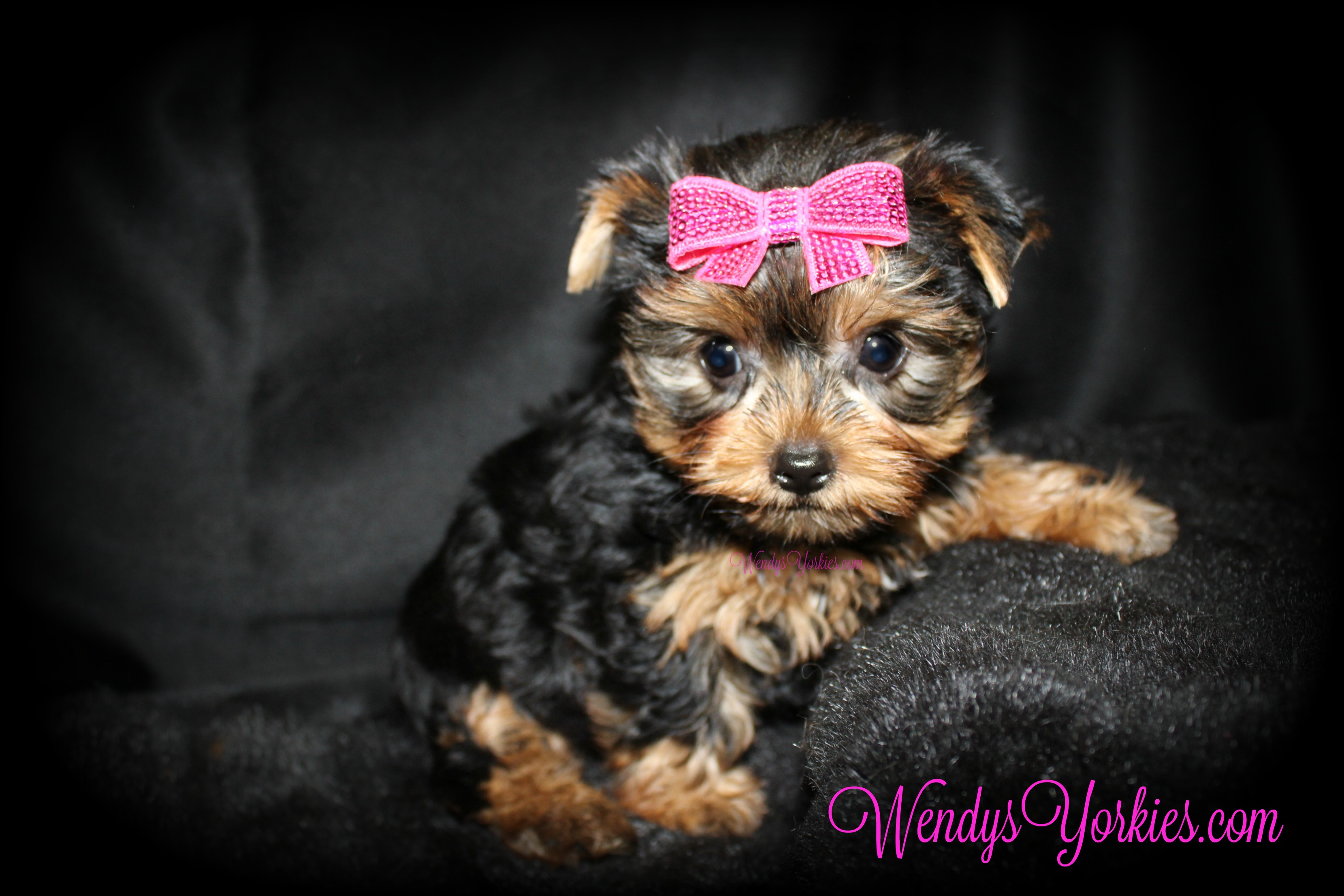 Female Toy size Yorkie puppies for sale, WendysYorkies.com, Grace f3