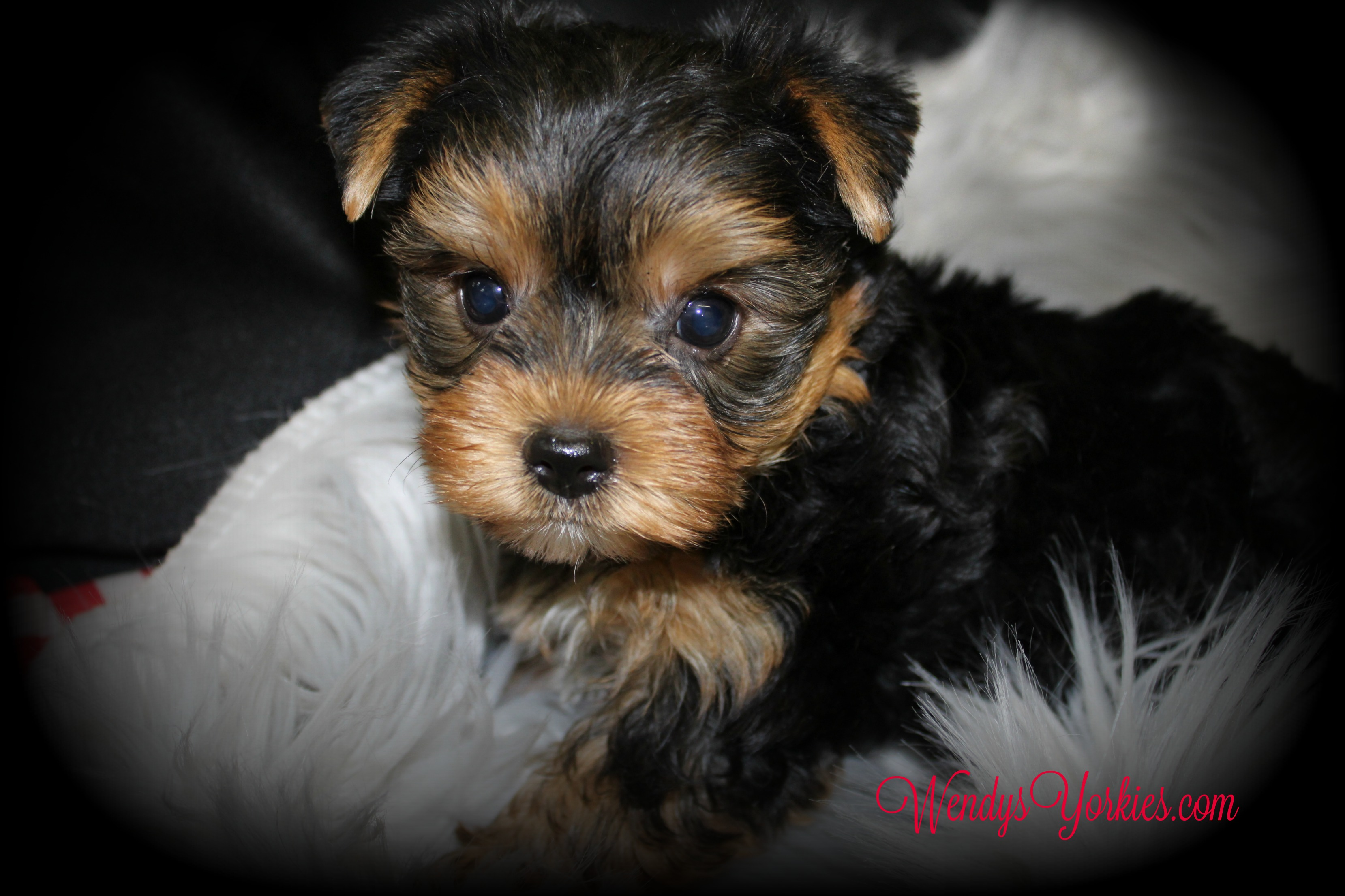 Male Yorkie puppy for sale, WendysYorkies.com, Grace m 1