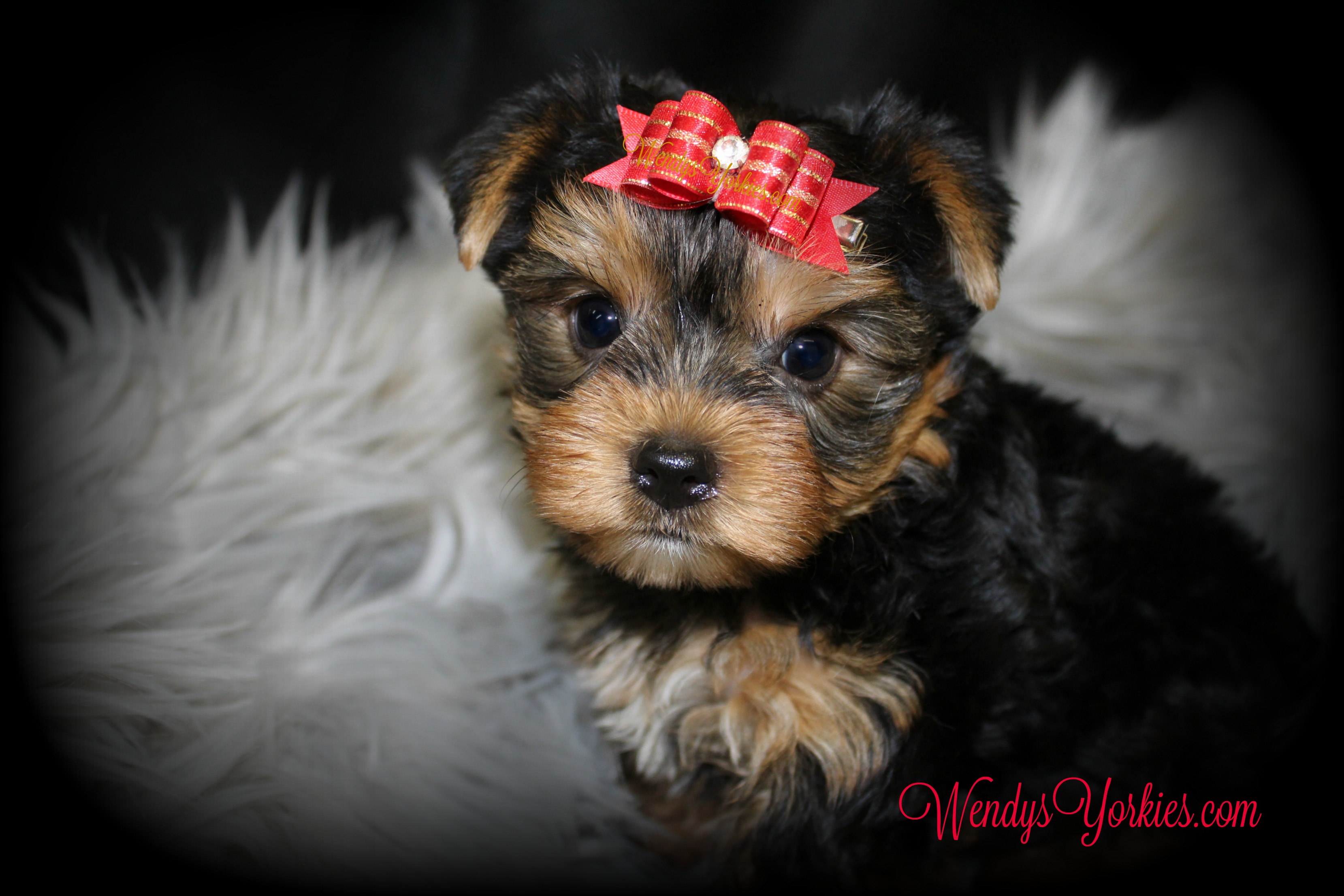 Male Yorkie puppy for sale, WendysYorkies.com, Gracem 1