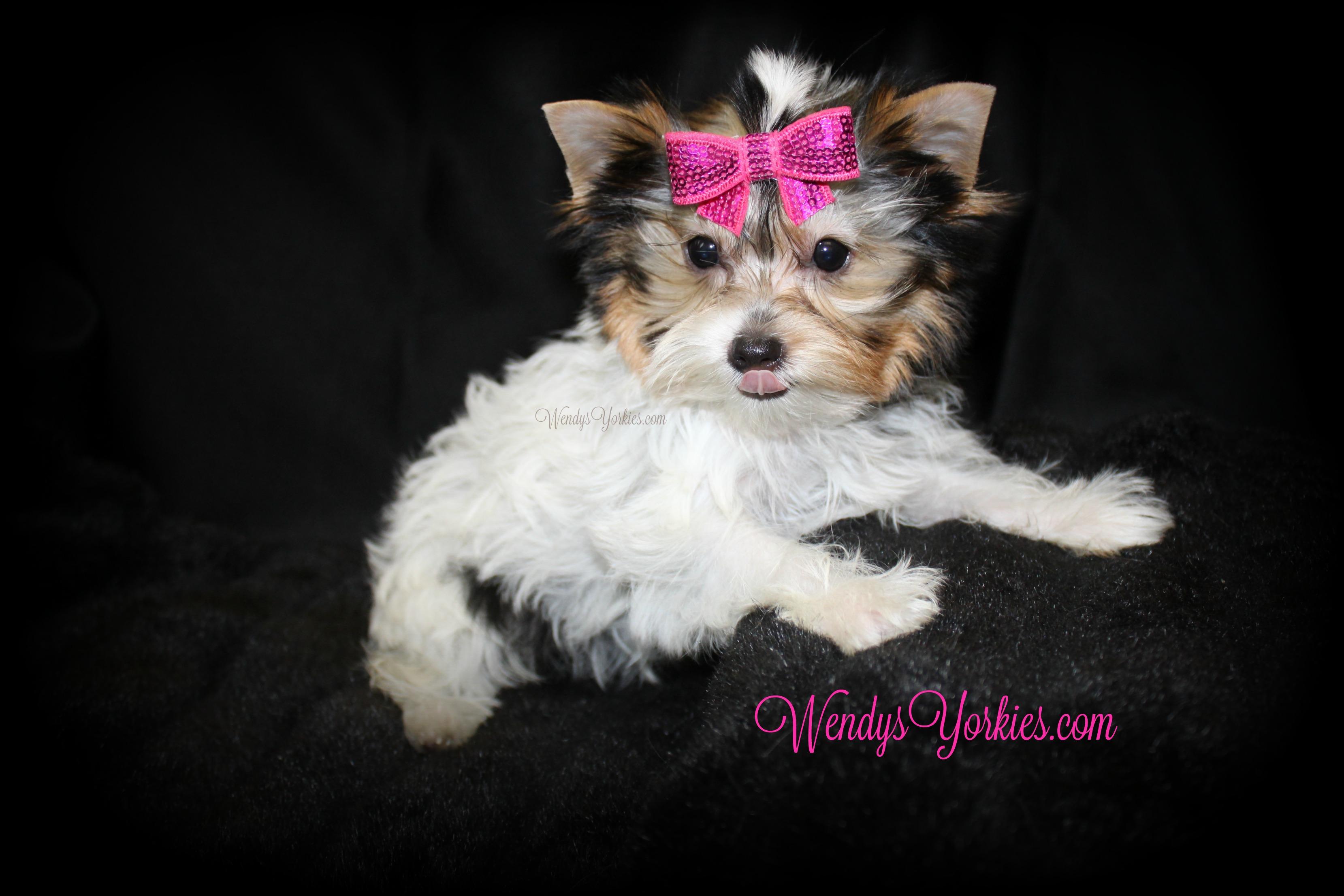 Parti Yorkie puppy for sale, WendysYorkies.com, Daisy pf1